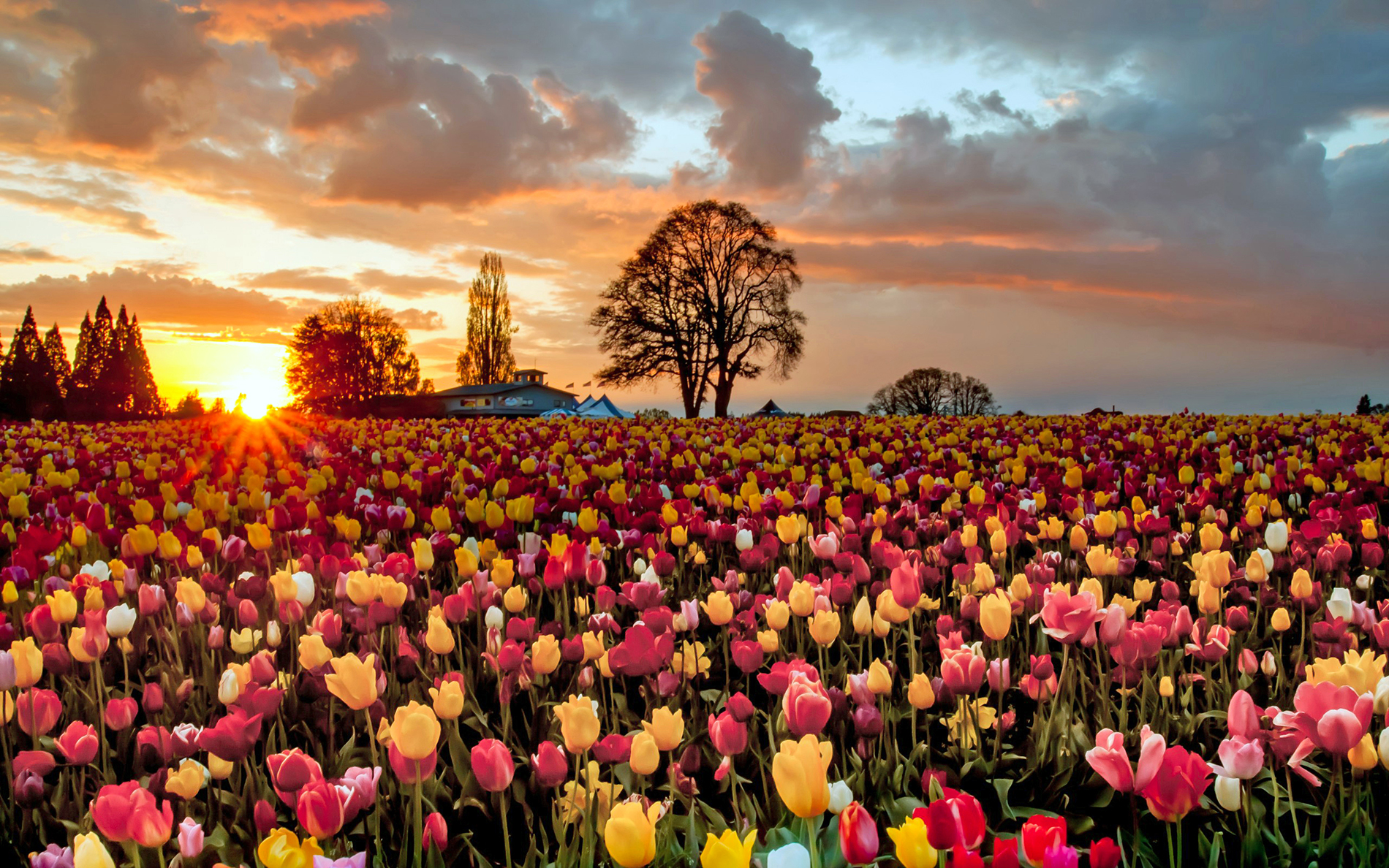 Tulip flower sunset 52708