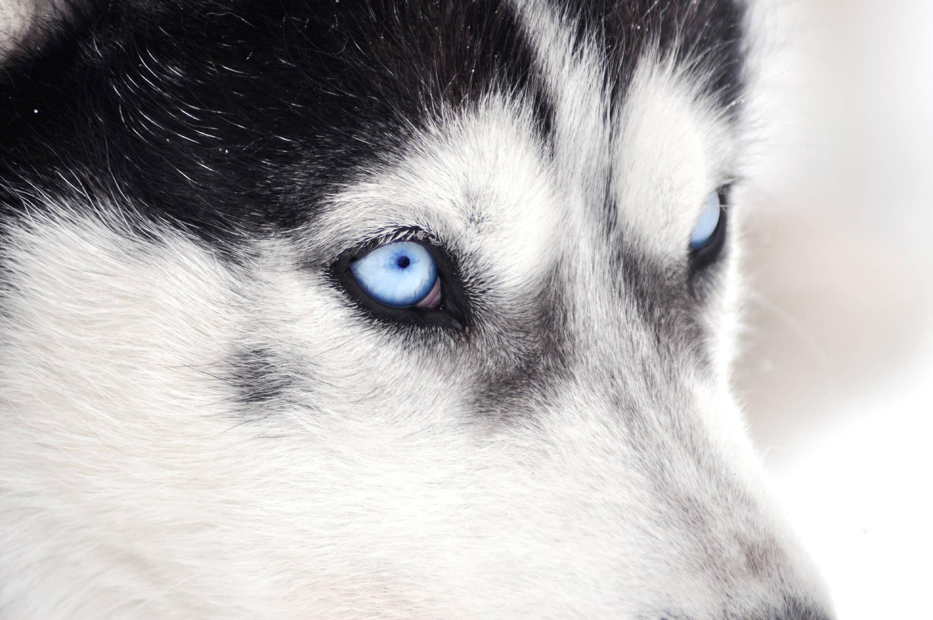 Blue eyes Siberian Husky head 52741