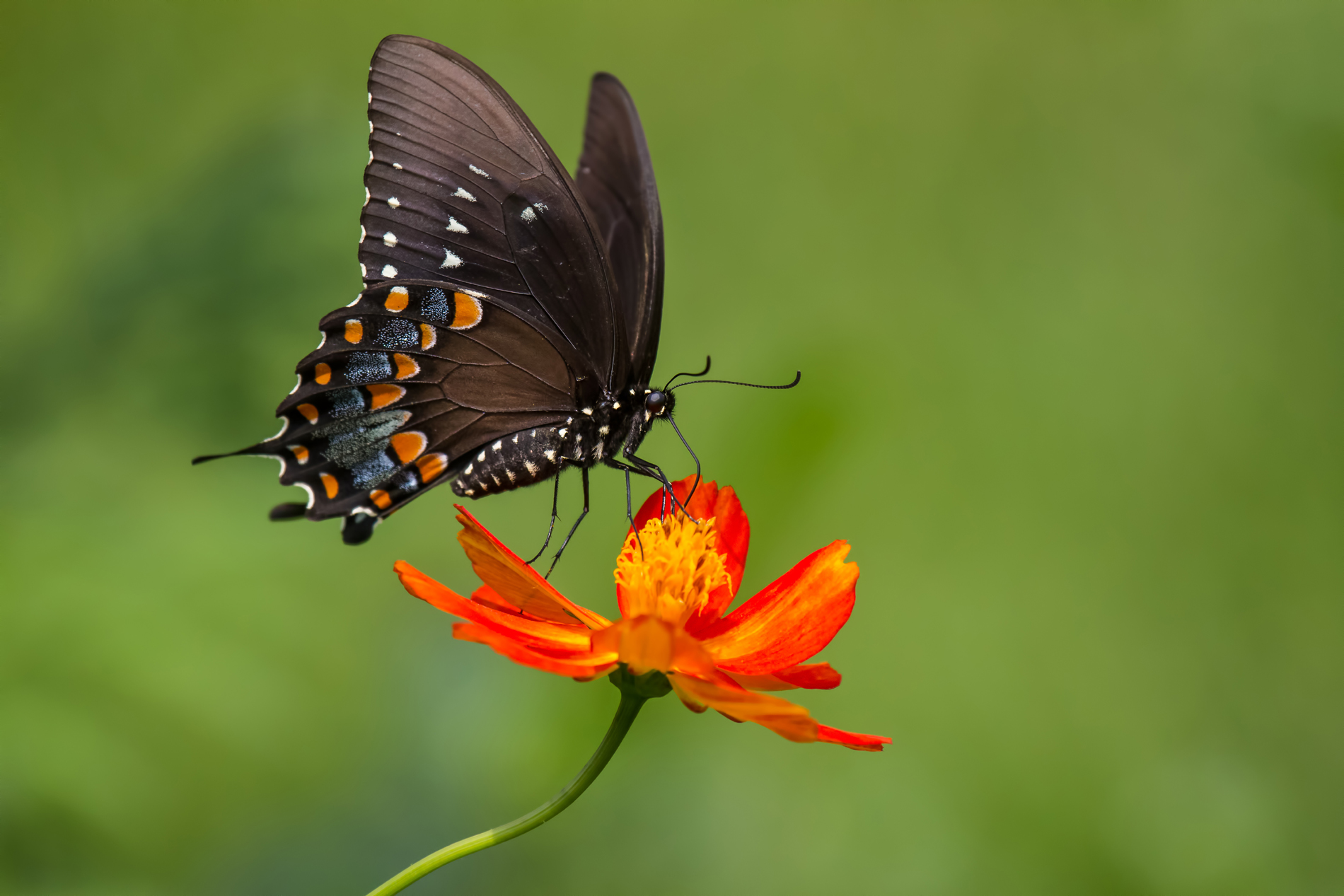 Flowers on the black Butterfly 52796