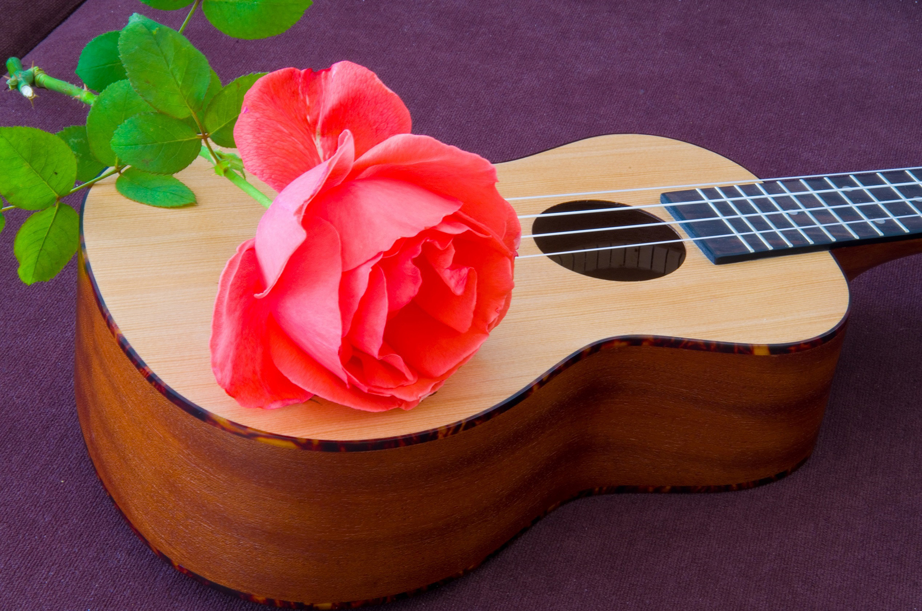 On the violin, red rose flower 52862
