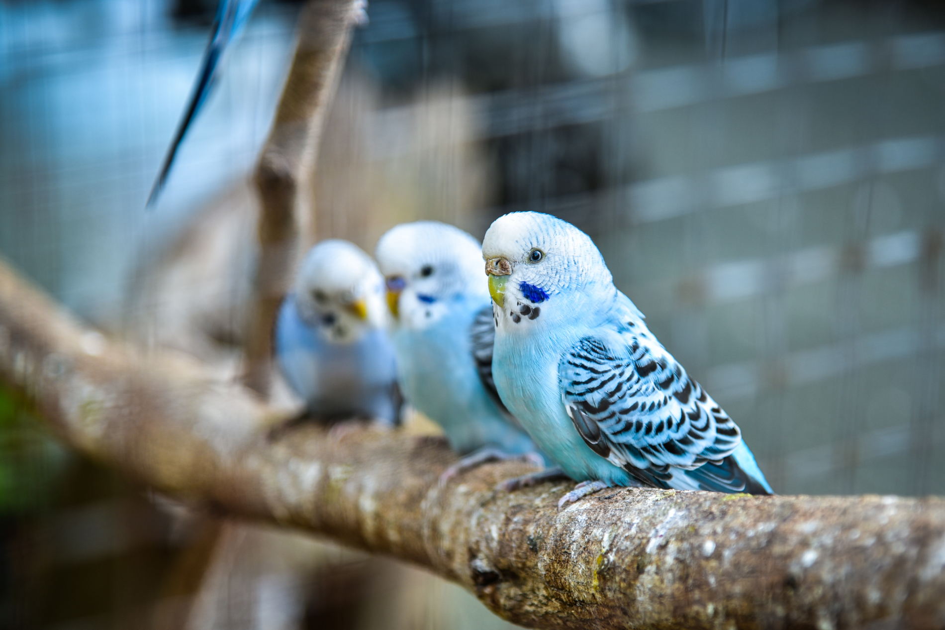 Branch of the budgerigar 52904