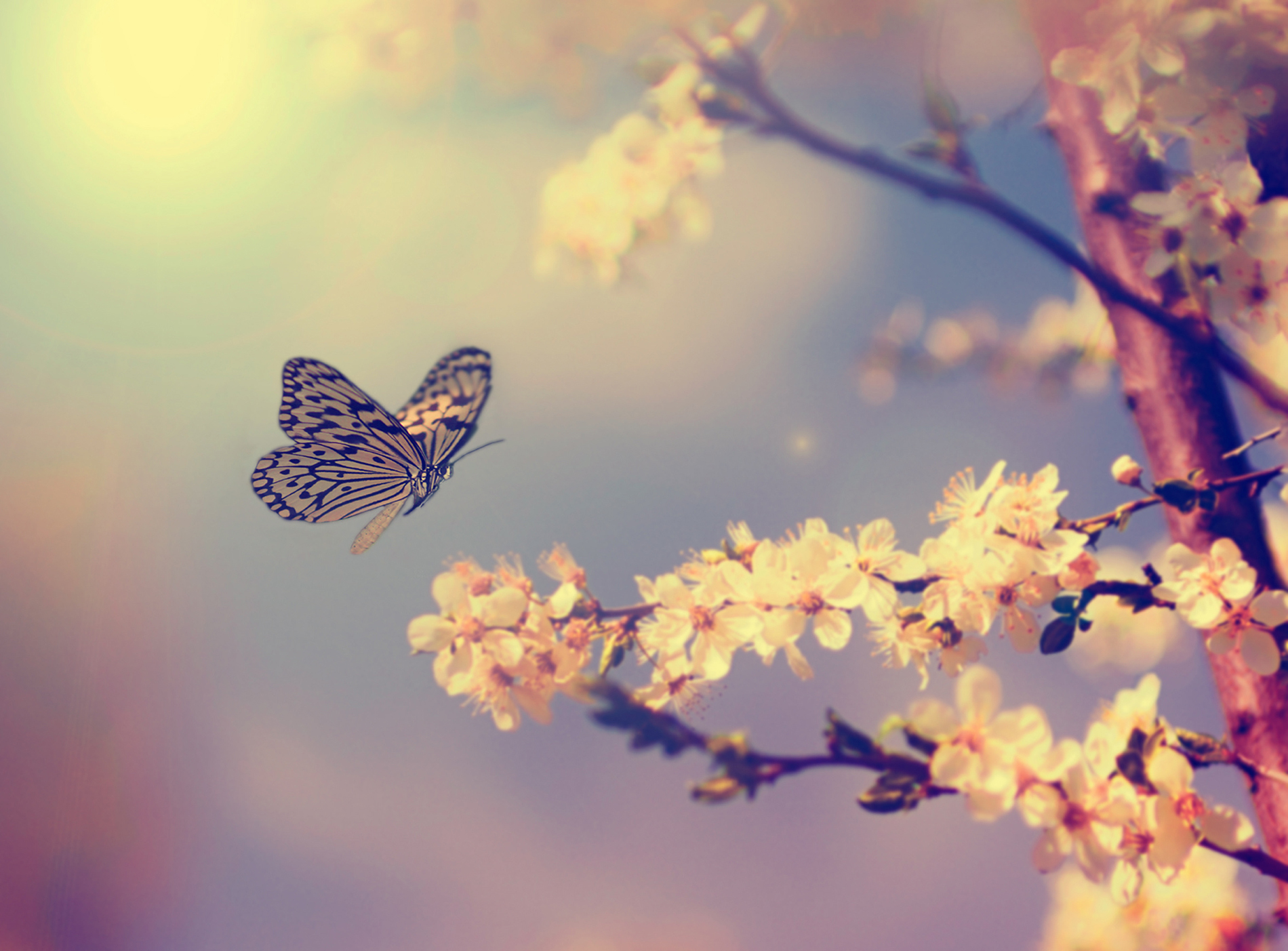 Butterflies and blooming cherry blossoms 53045