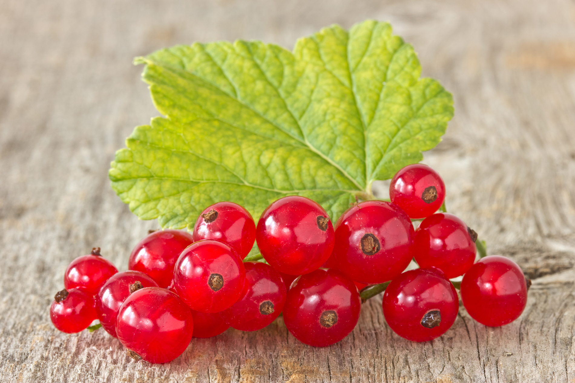 Translucent red currant 53065