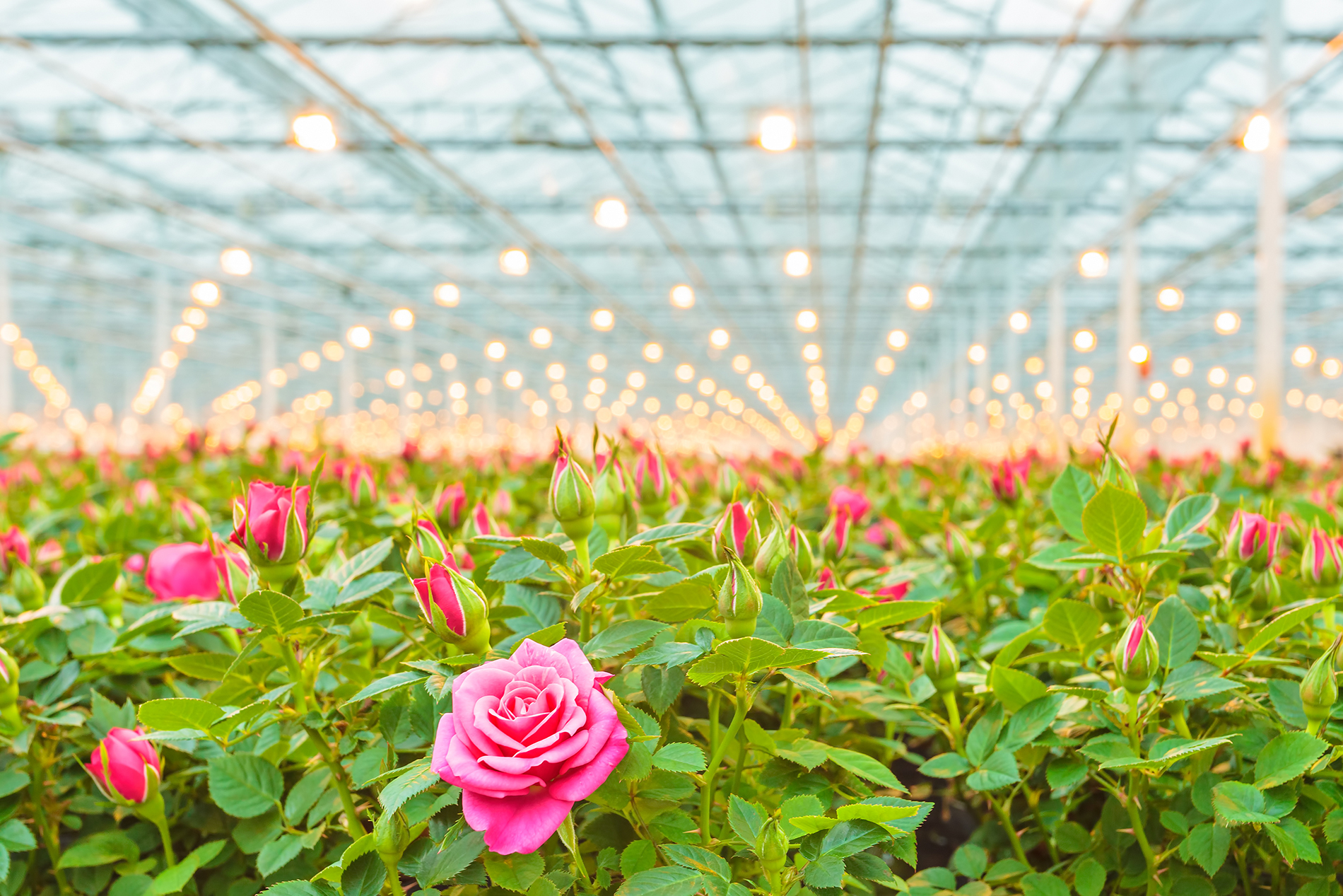 The Roses grown in greenhouse 53115