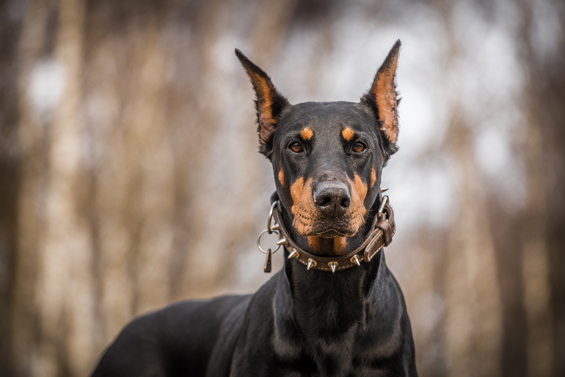 Wears a collar around the neck of the Doberman 53473