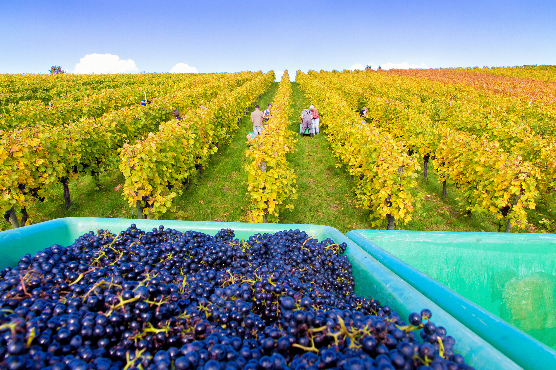 Plantations with just-picked grapes 53508
