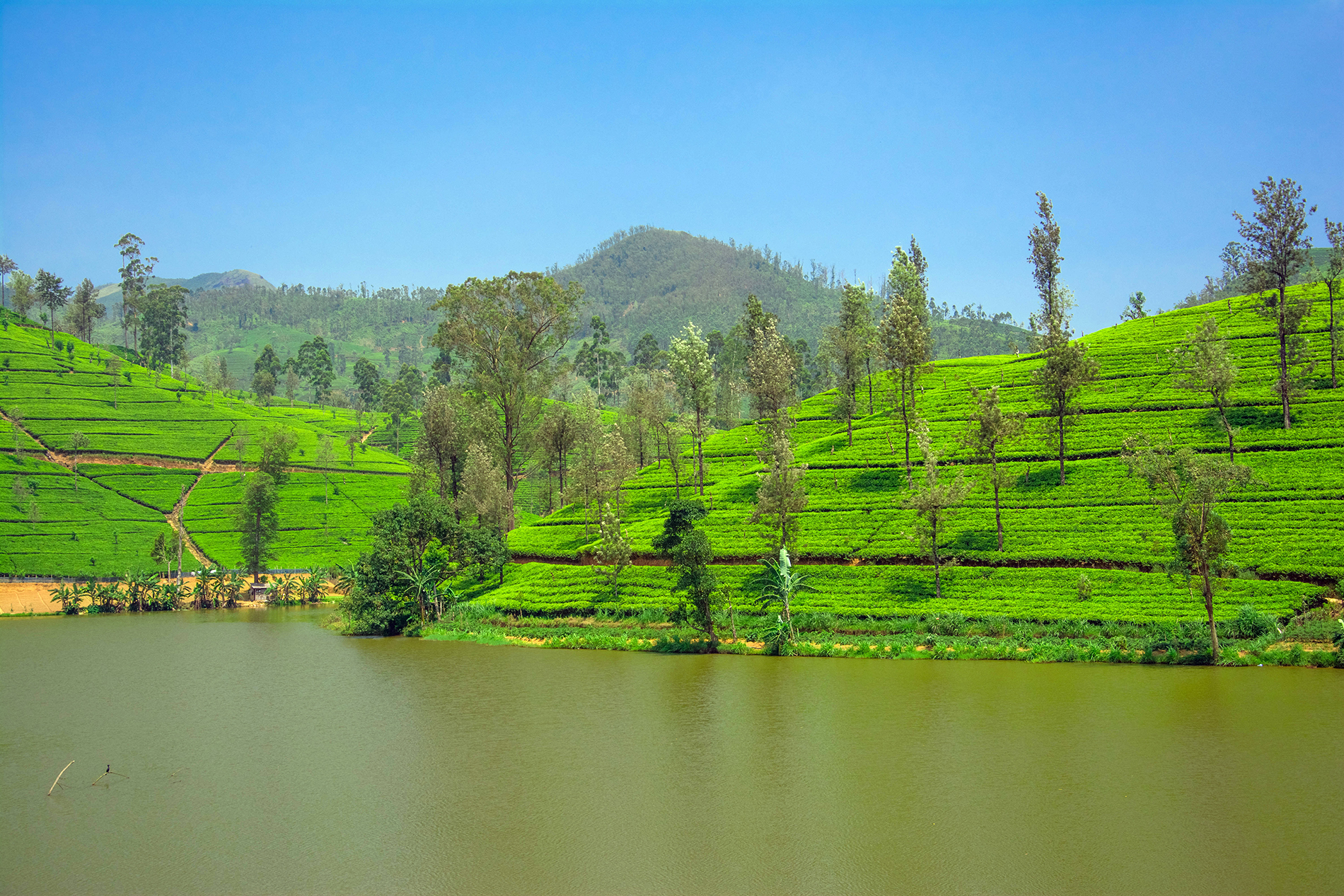 Calm Lake and on the slopes of the tea garden 53622