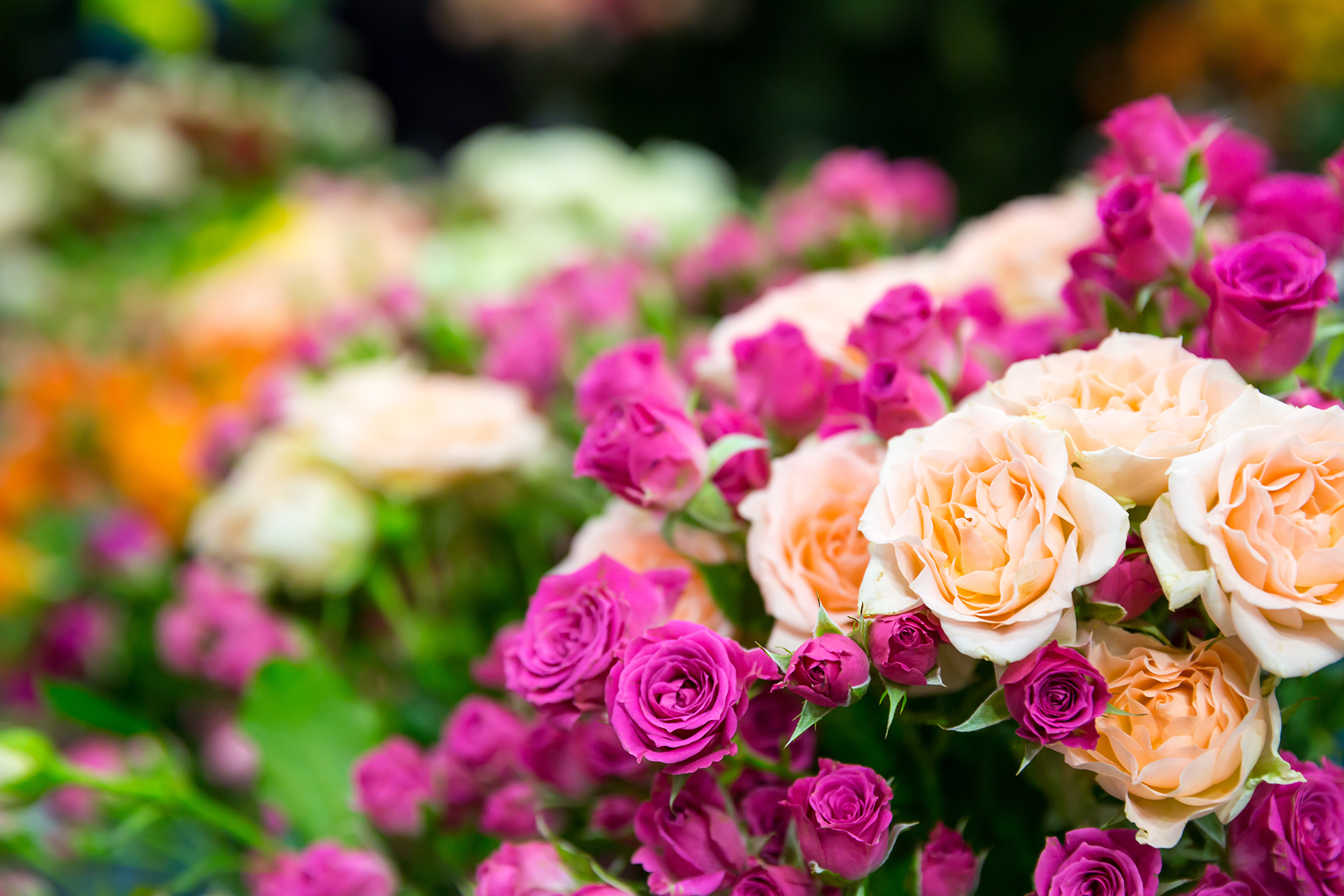 The Garden Of Purple Roses 53646 Flower Wallpapers Flowers