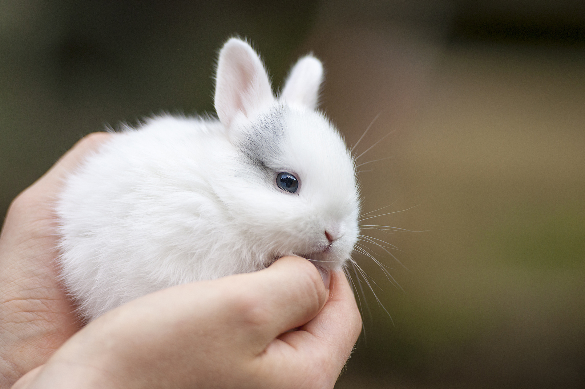 Hold it in the Palm of a small rabbit 53683