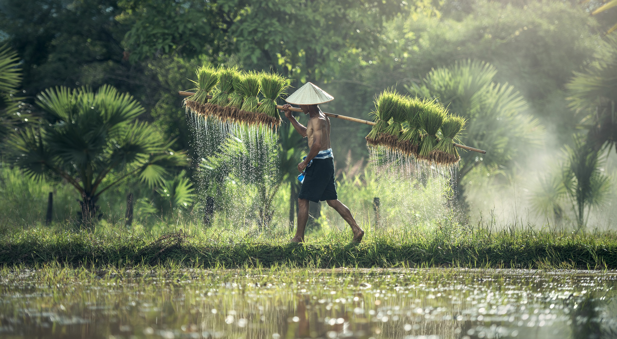 Carrying rice farmers 53707