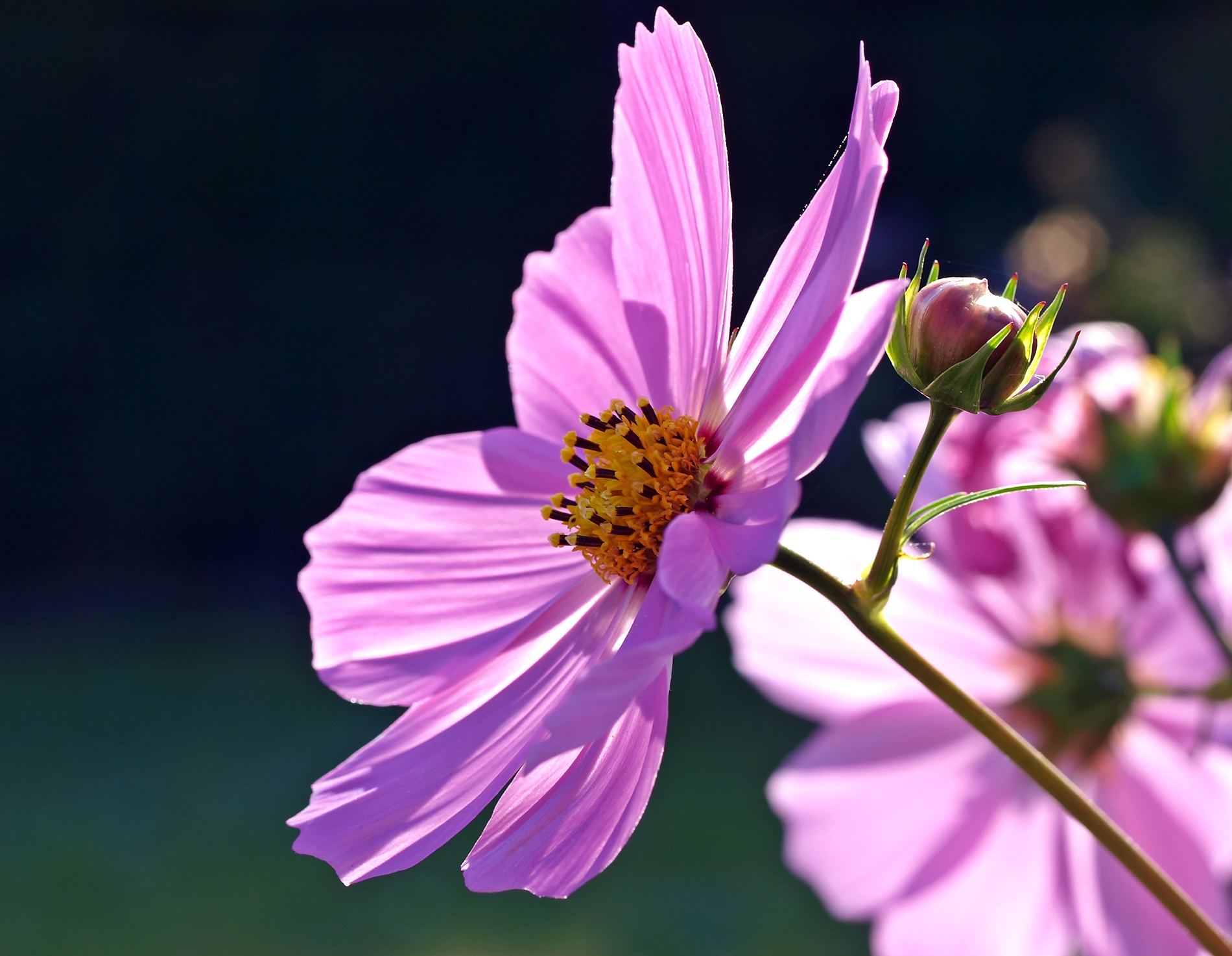 Pink Cosmos 53885