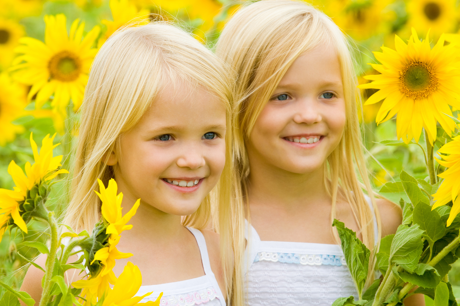 Flowers of sunflower sisters 53901
