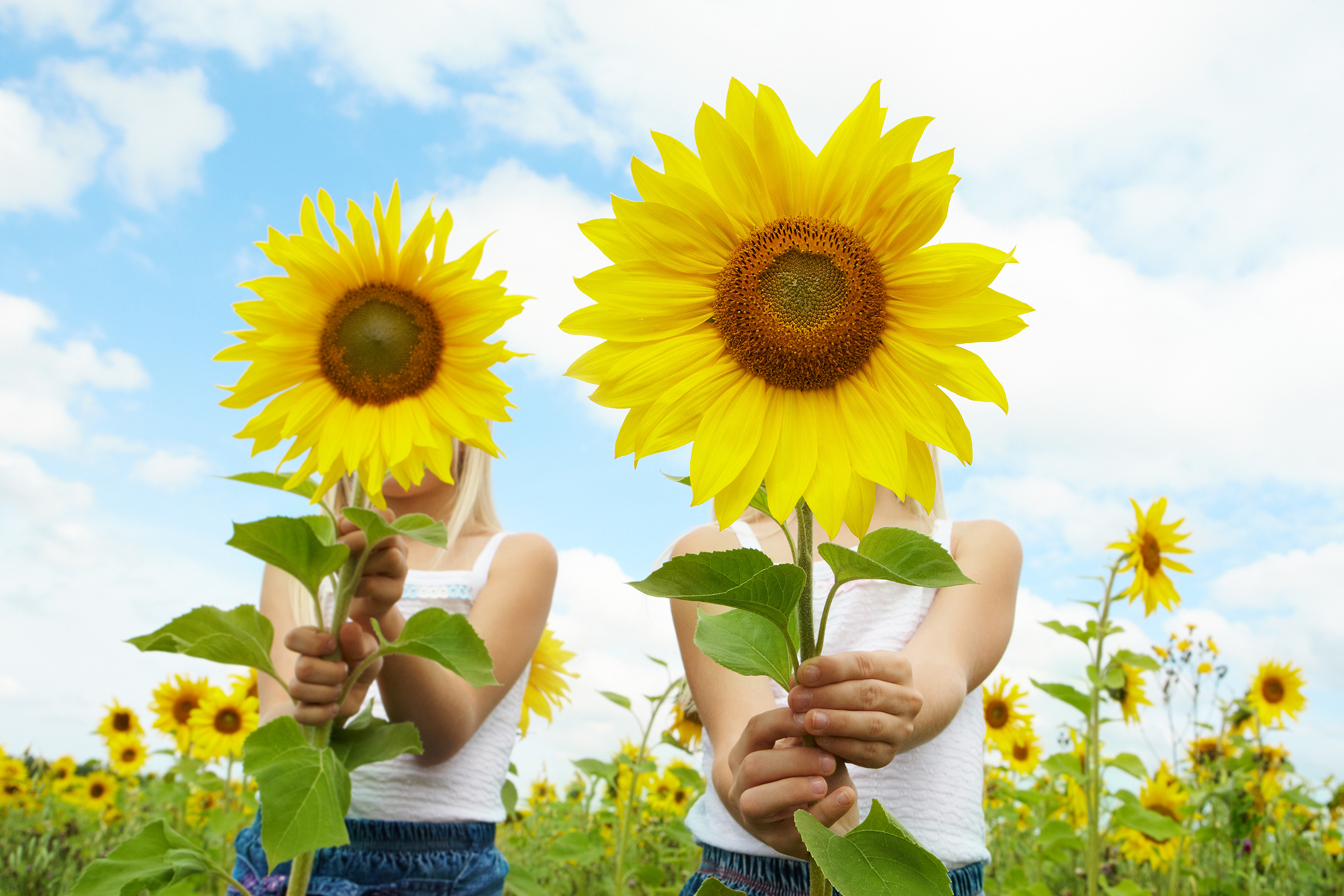 Sisters in the sunflower flower  54037