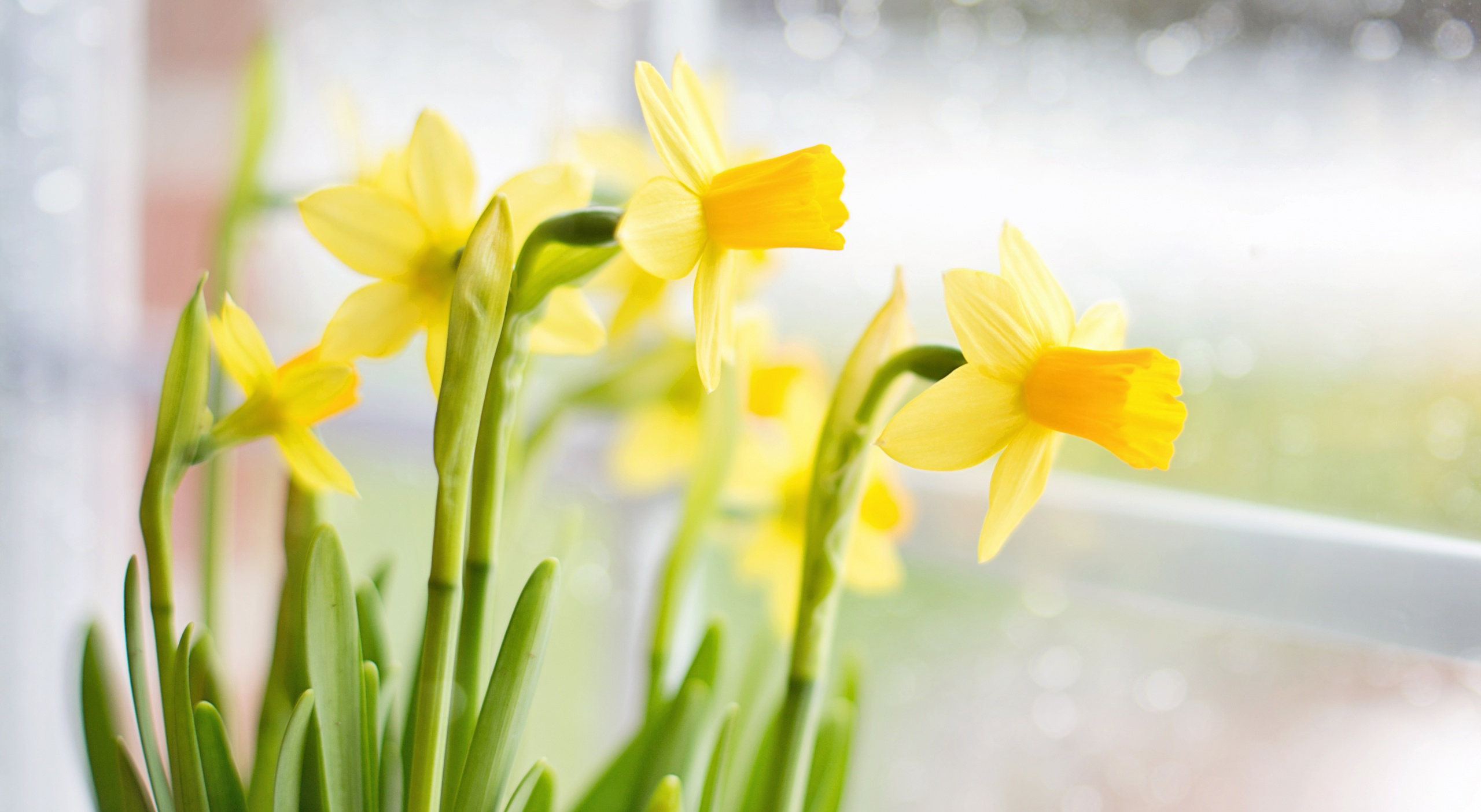 Daffodil wallpaper  54055