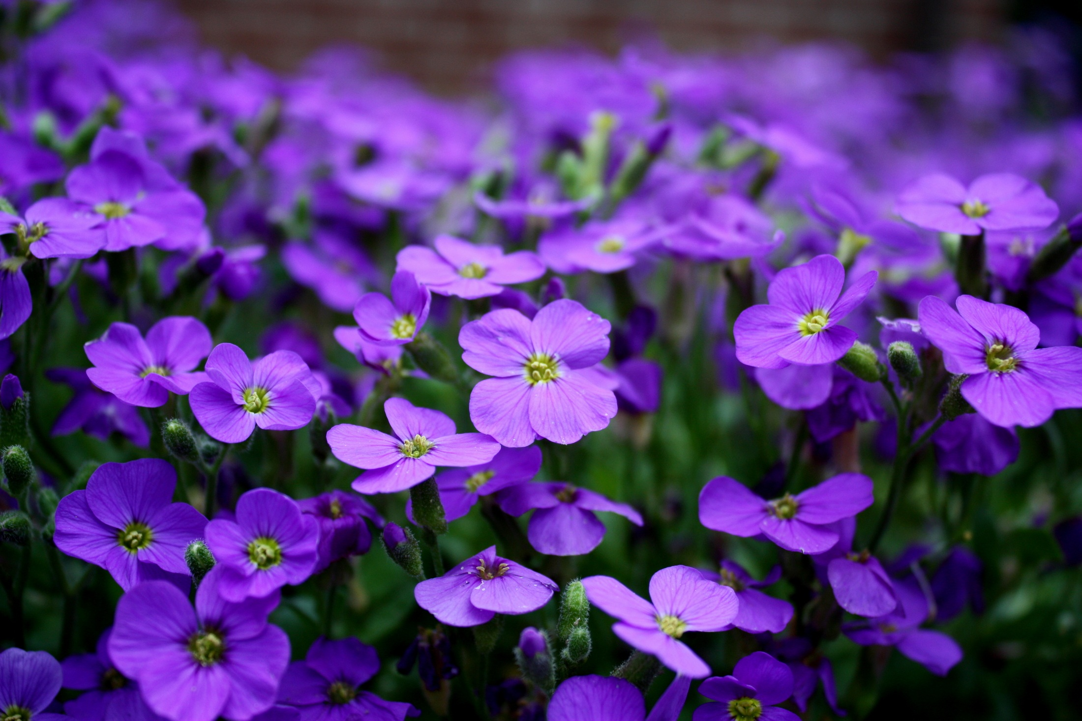 Purple color flower 54371