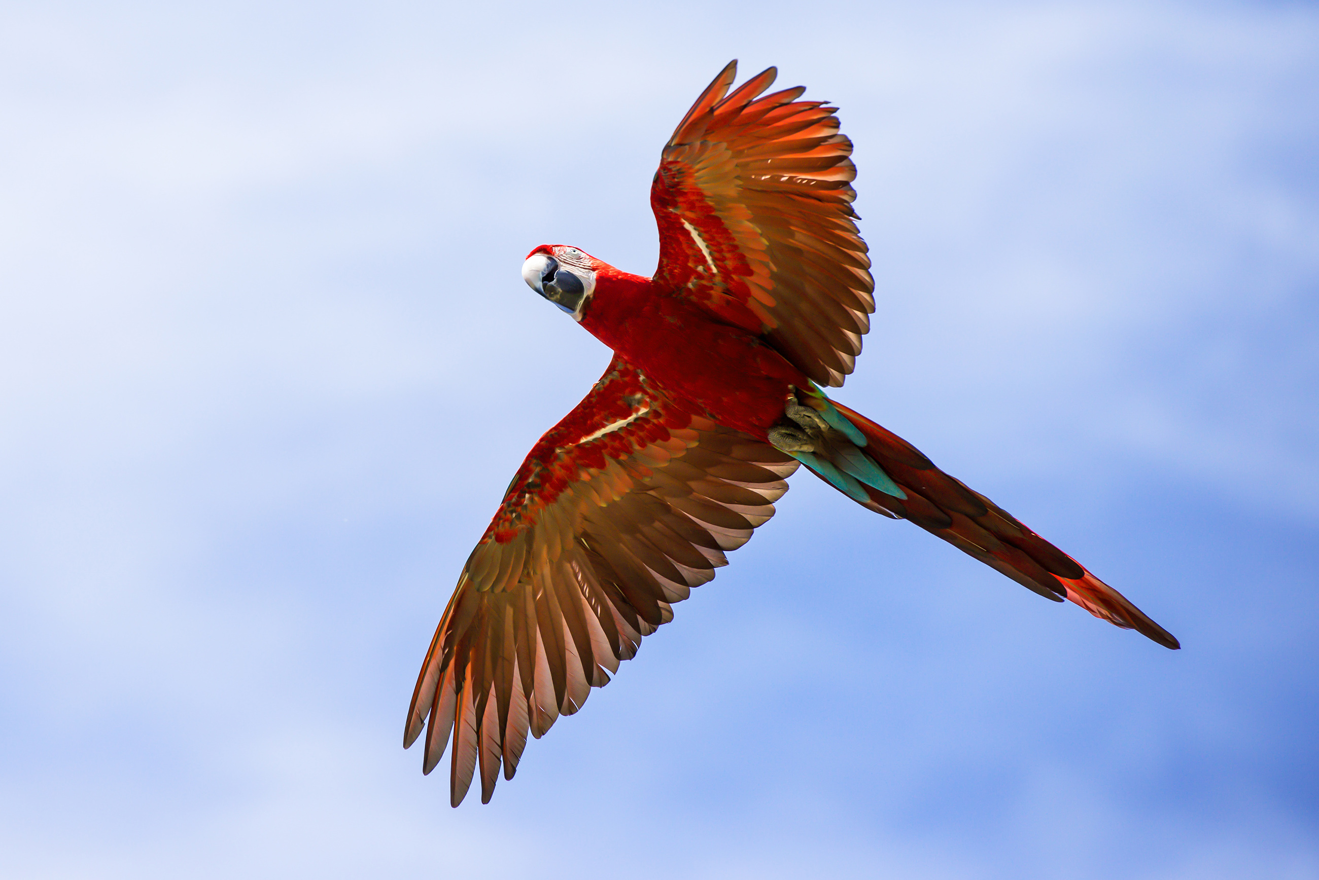 Macaw flying in the air 54380