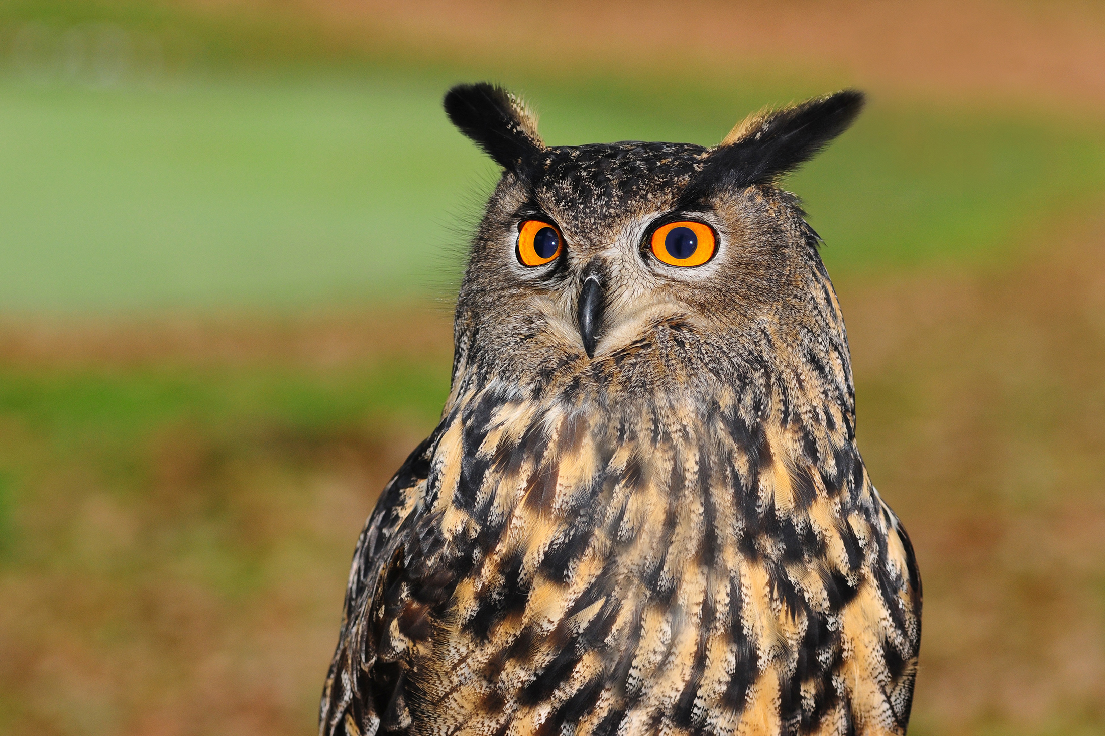 Wide-eyed owl 54396
