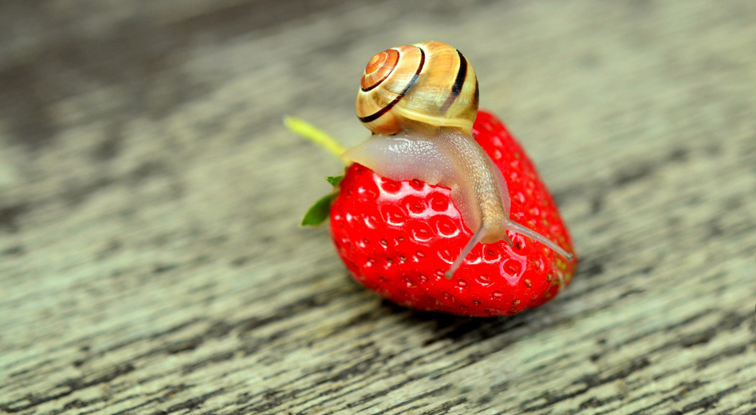 Strawberry and snail 54437