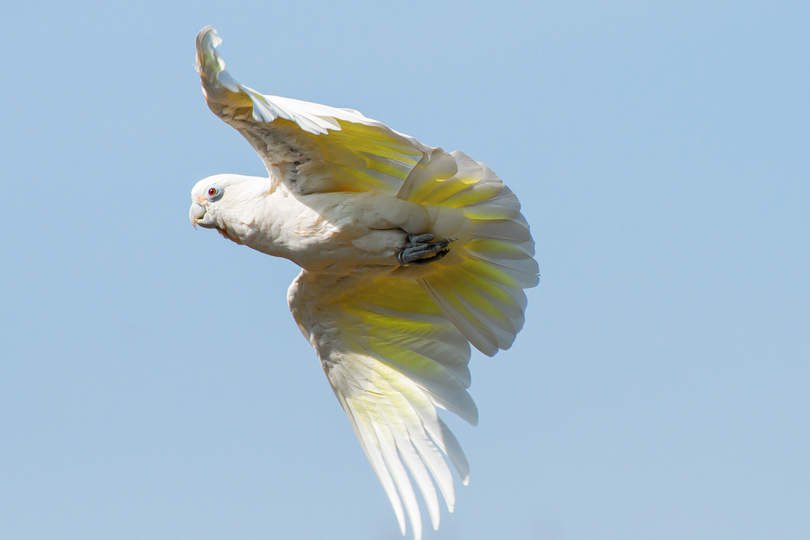 White parrot flying in the air 54715