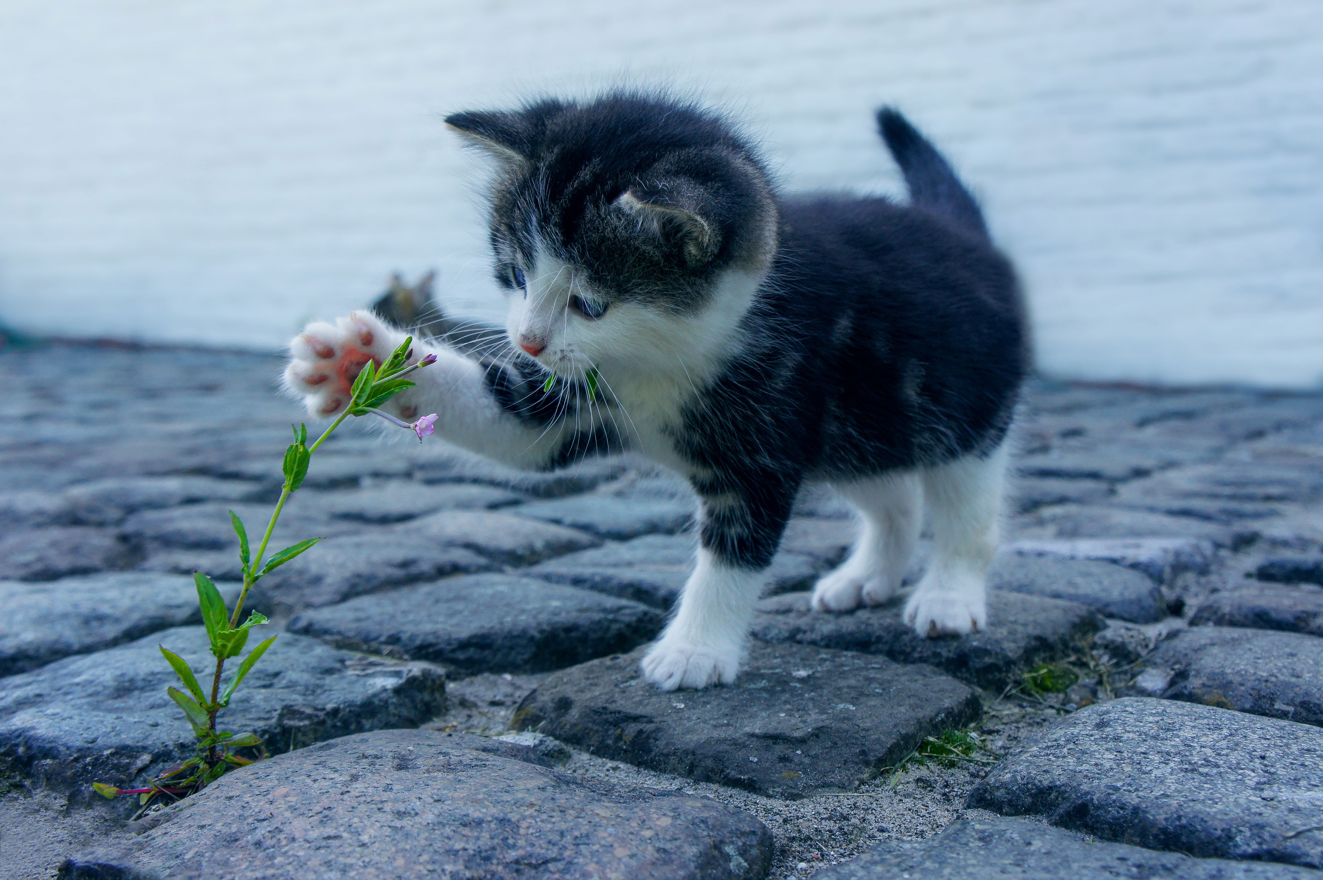 Kitten 4969 with a paw stroking the seedling 55428
