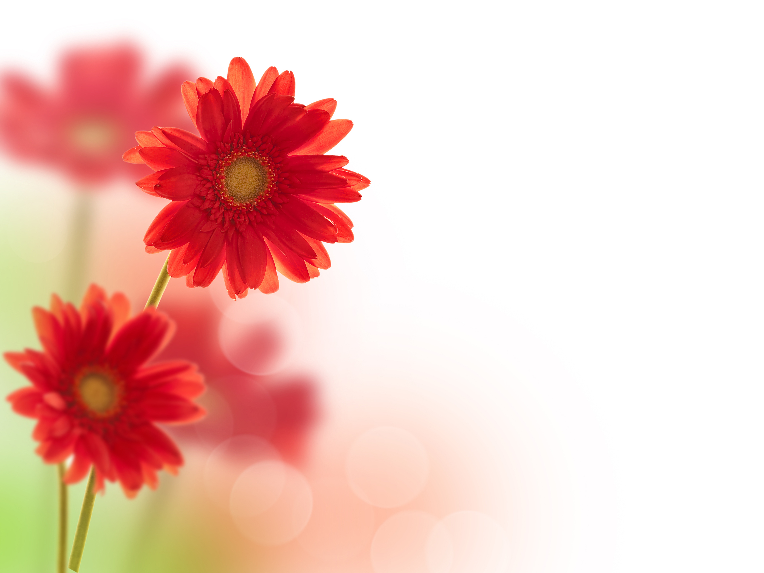 Red daisy flower 55578