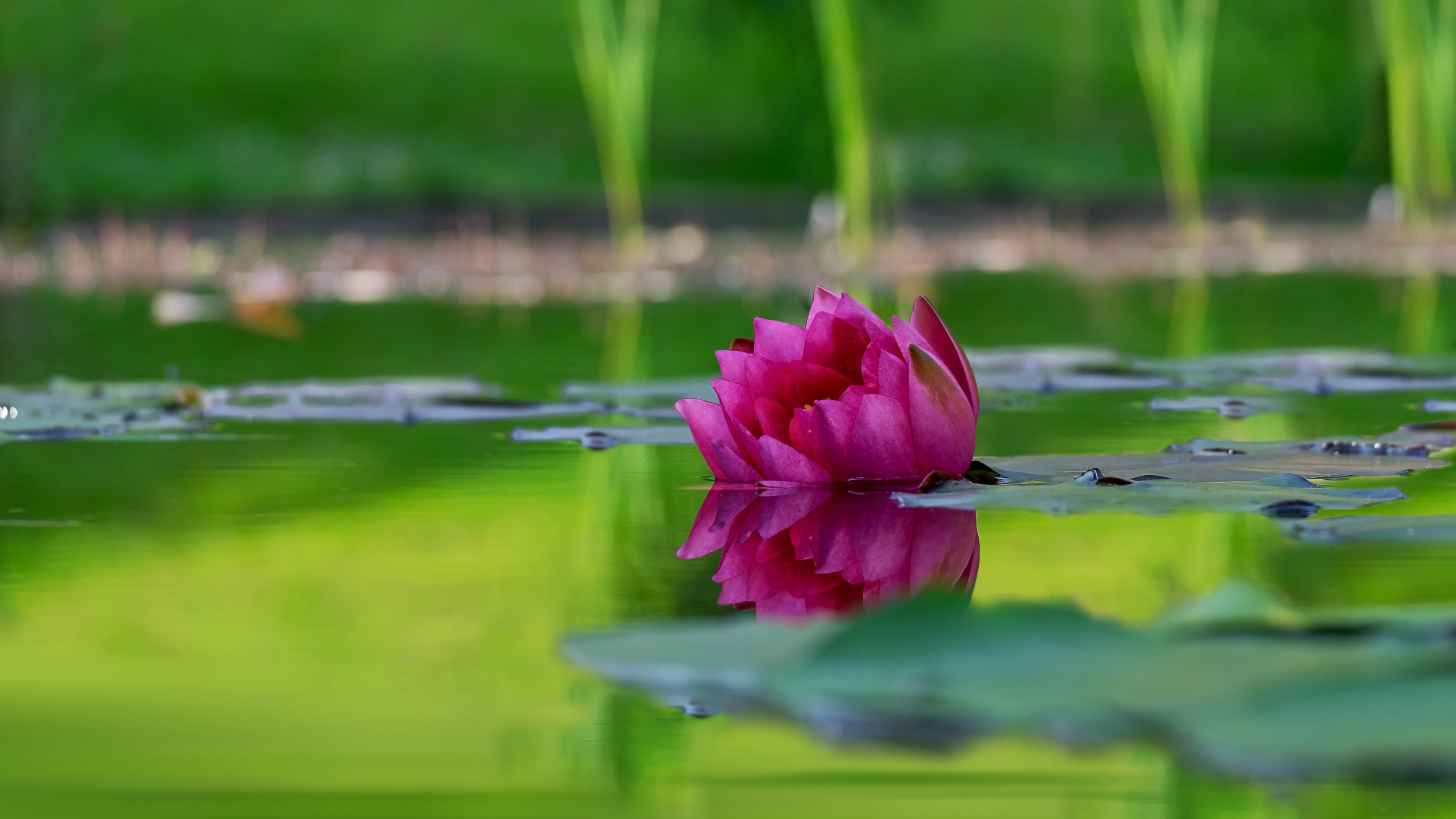 Water lily 55781
