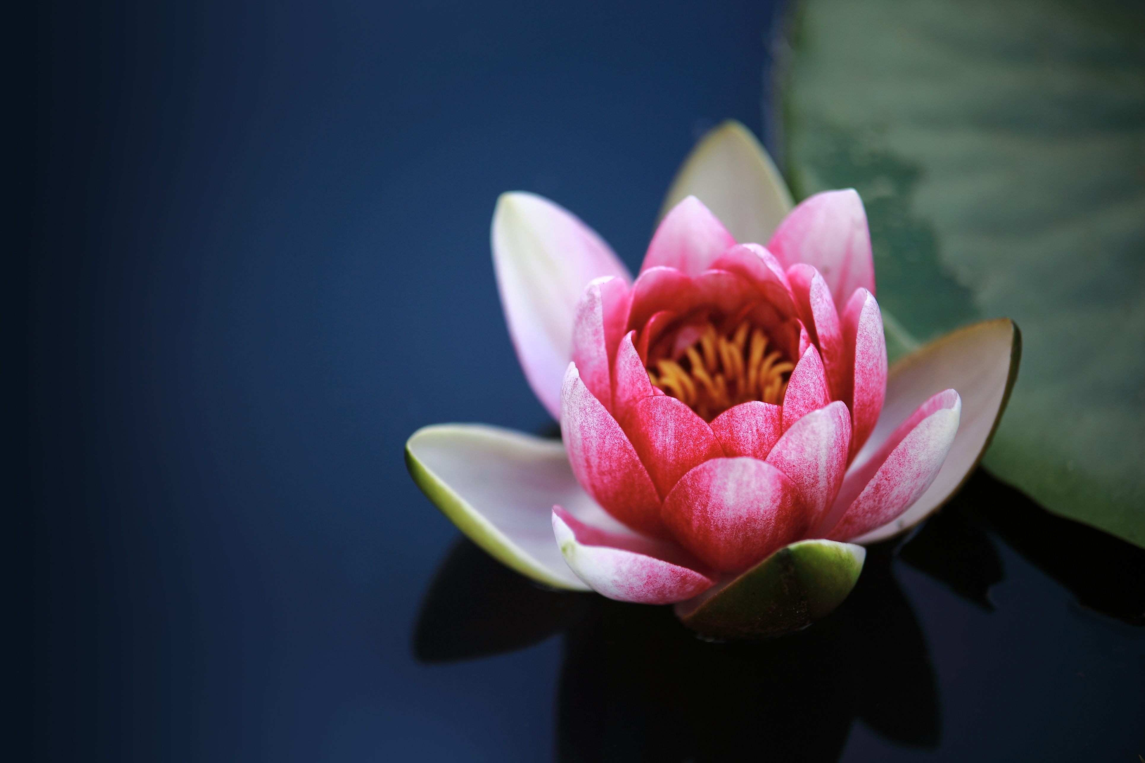 Water lily 56160