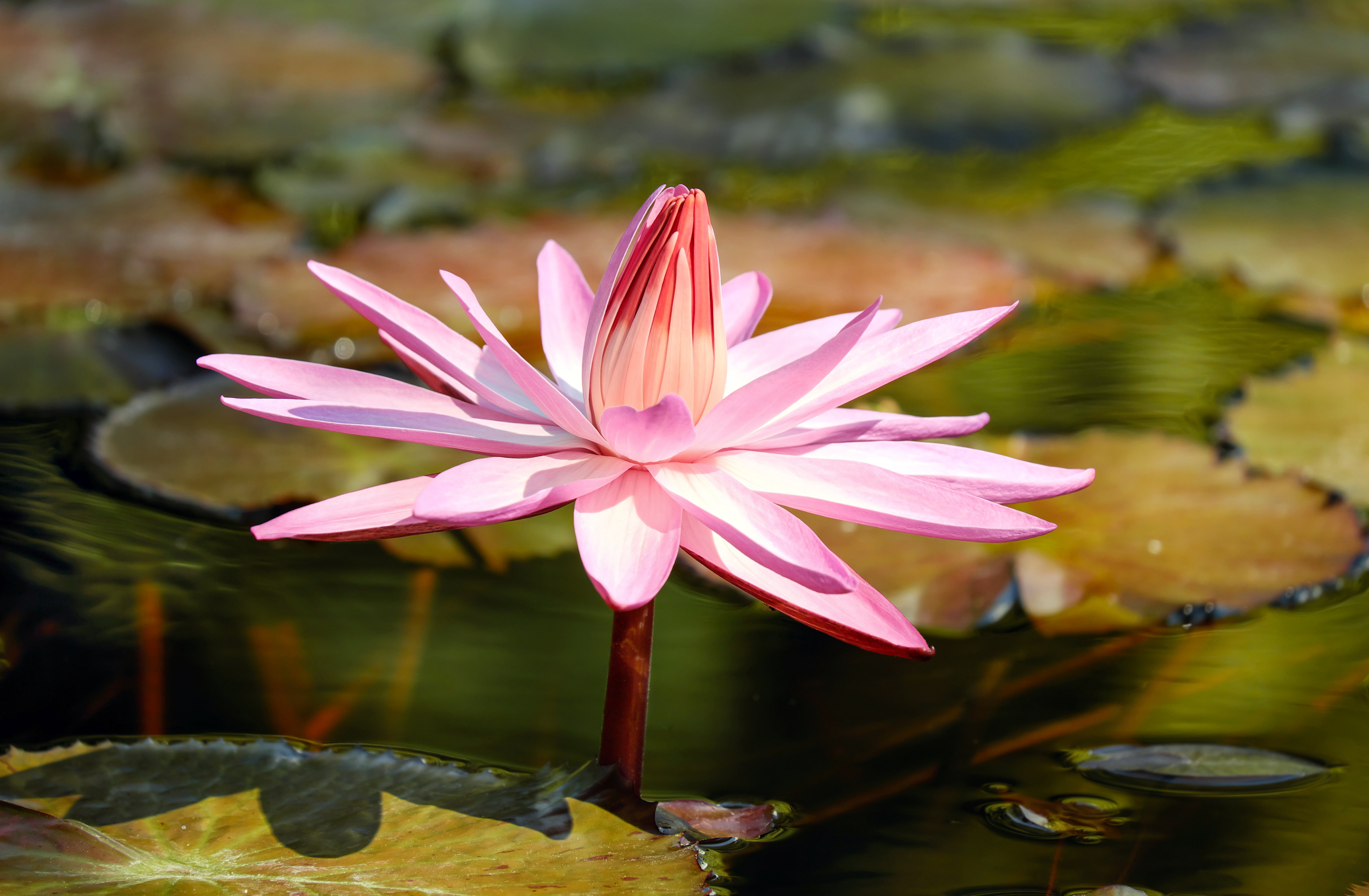 Water lily 56166