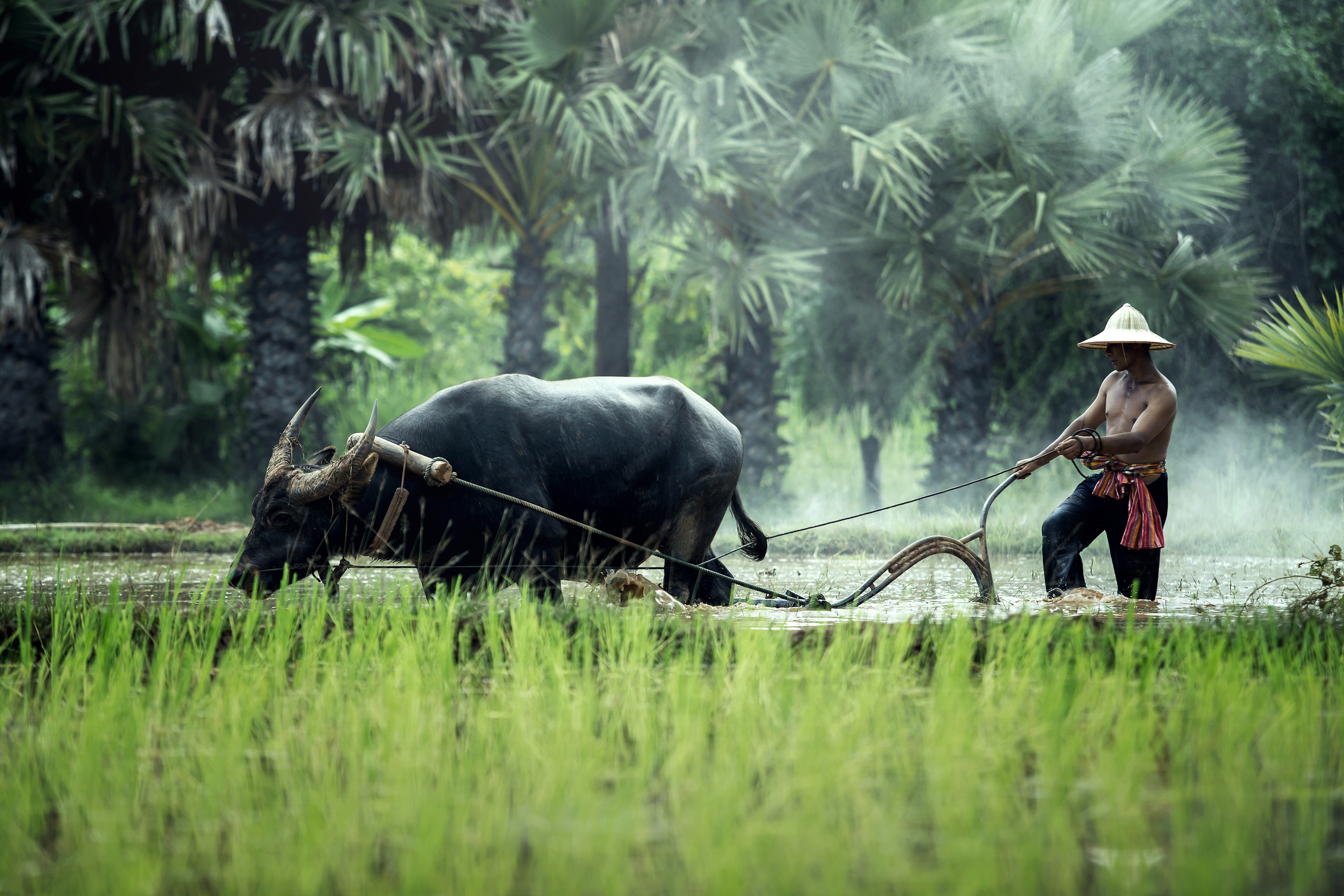 Farmer 4999 plowing rice fields with ploughing cattle 56173