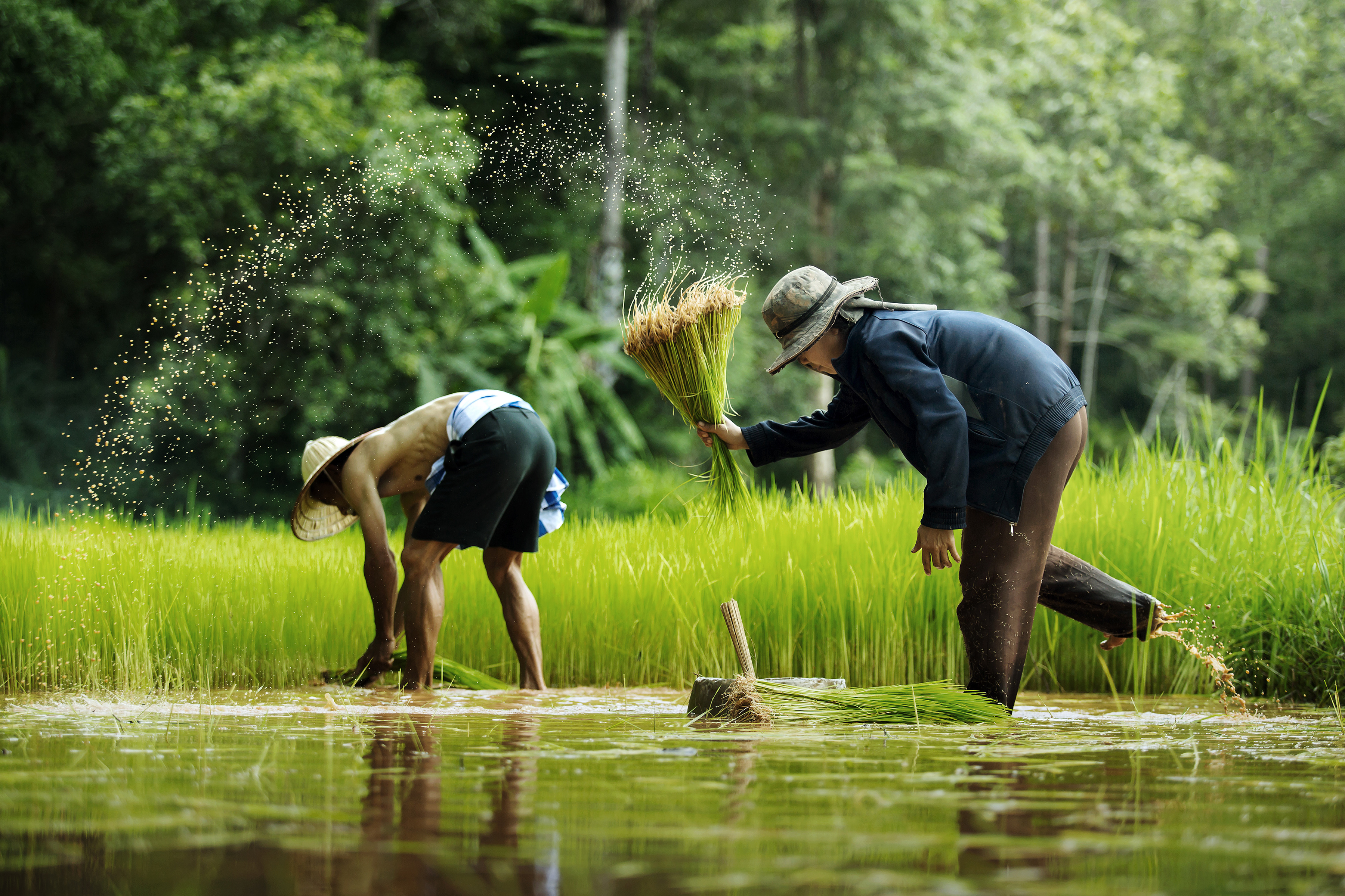 Farmer 4999 who inserted rice in the field 56182