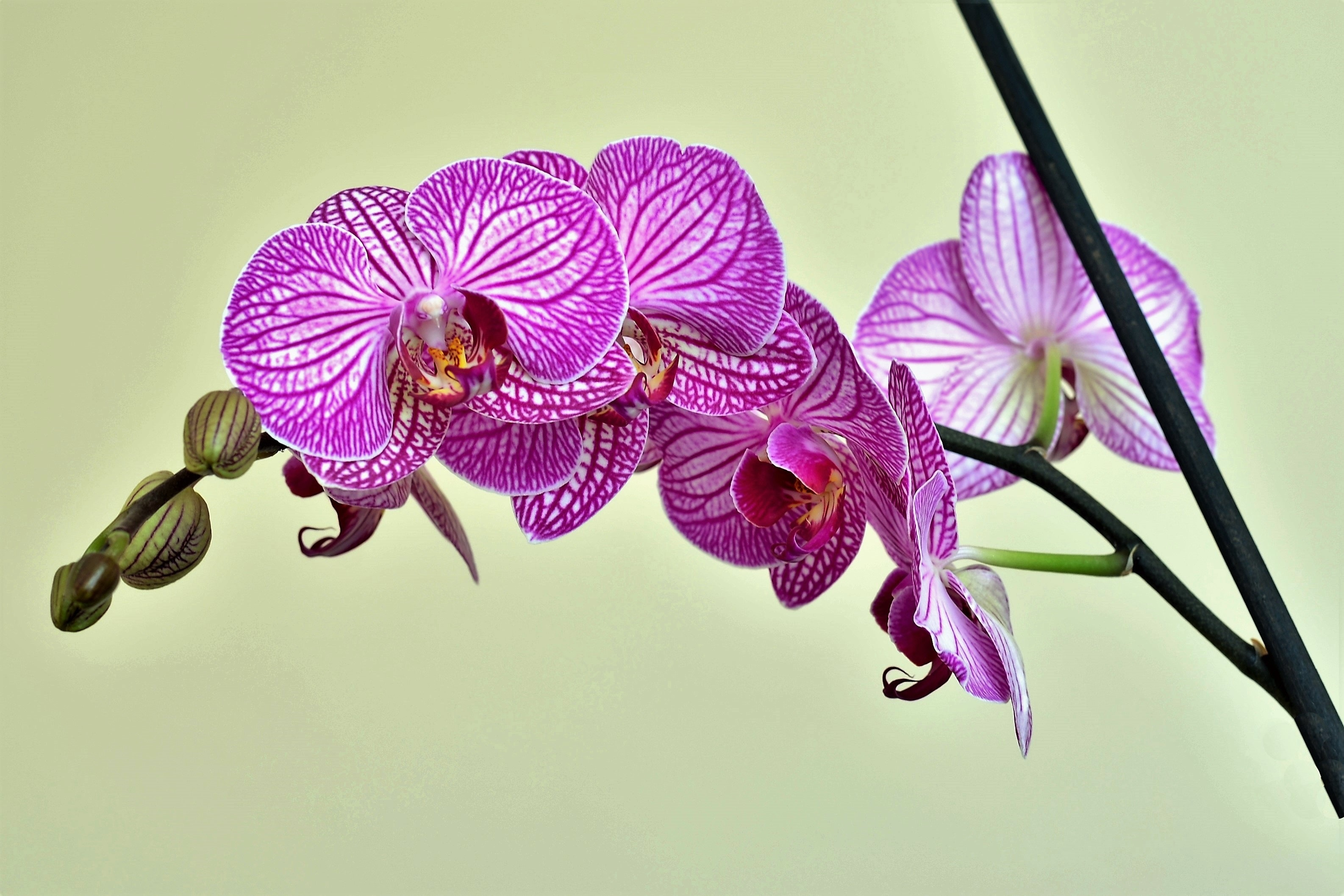 Orchid 56270