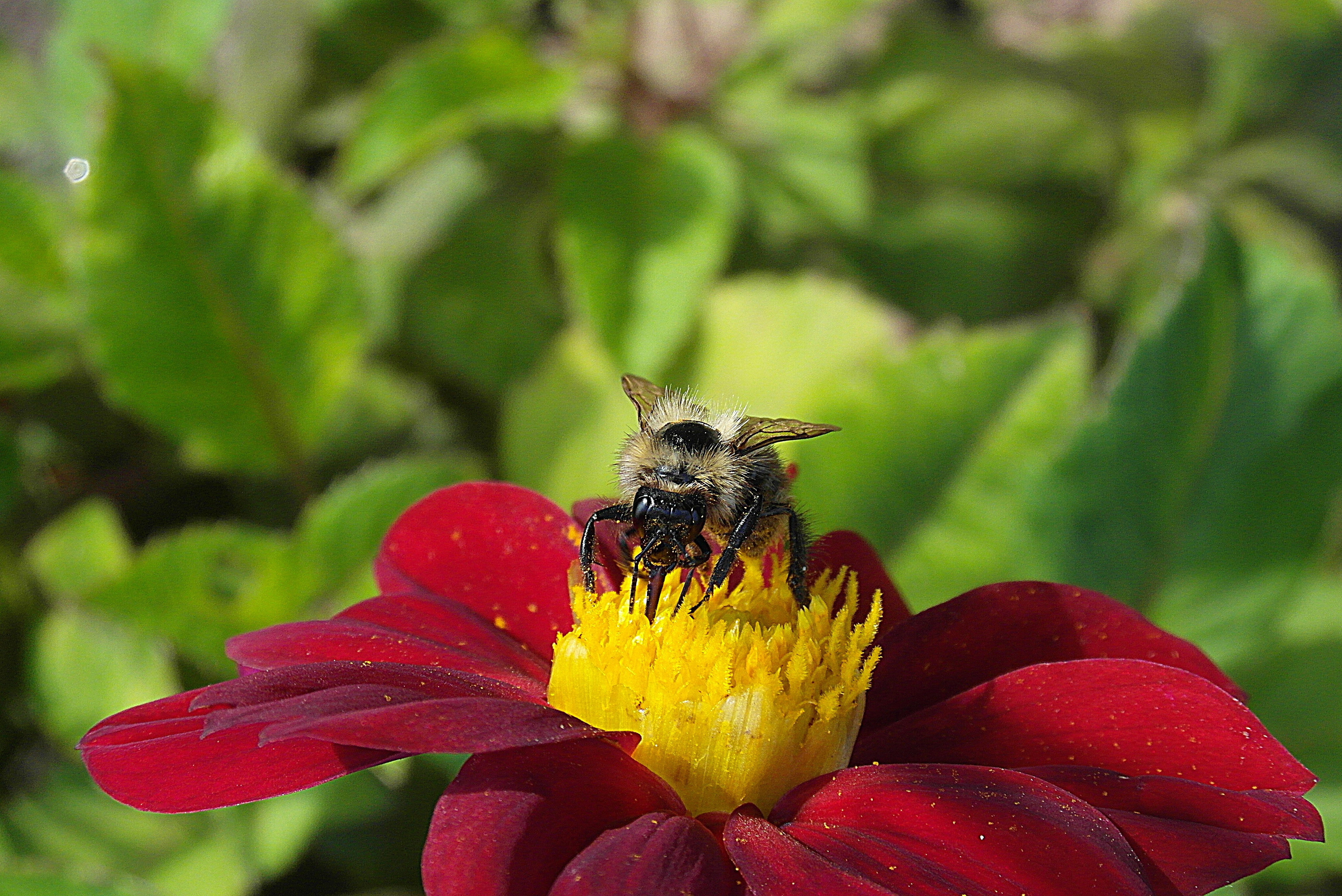 Bee on the flower 56274