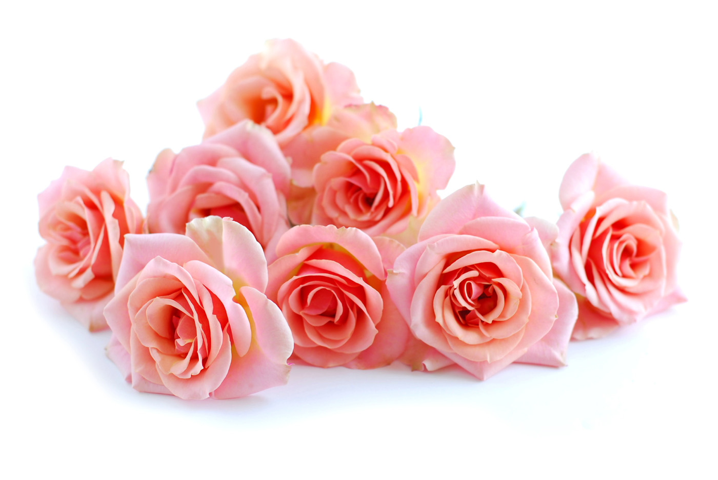 Pink roses 31141