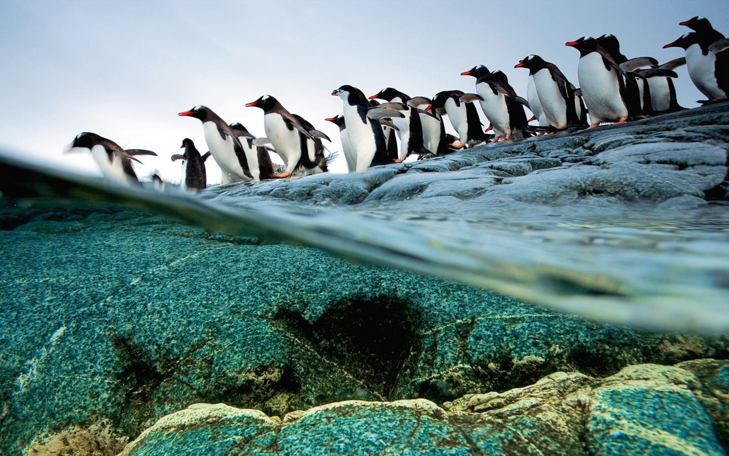 The gentoo penguins of Antarctica queuing Diving 31529