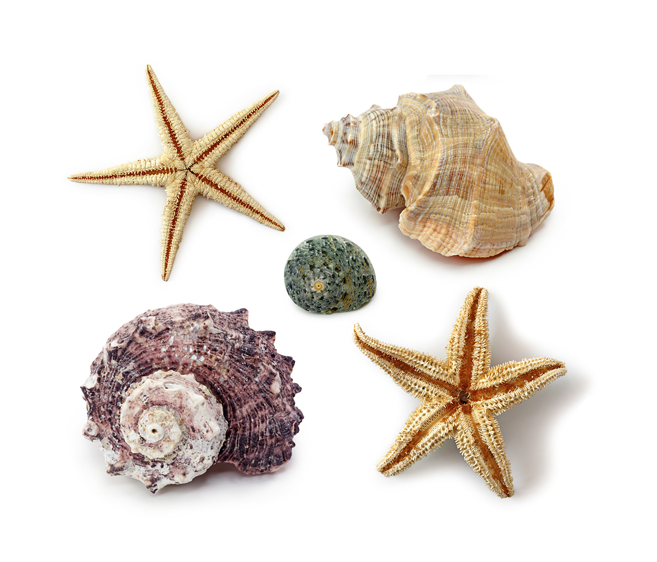 Shells and starfish 31538