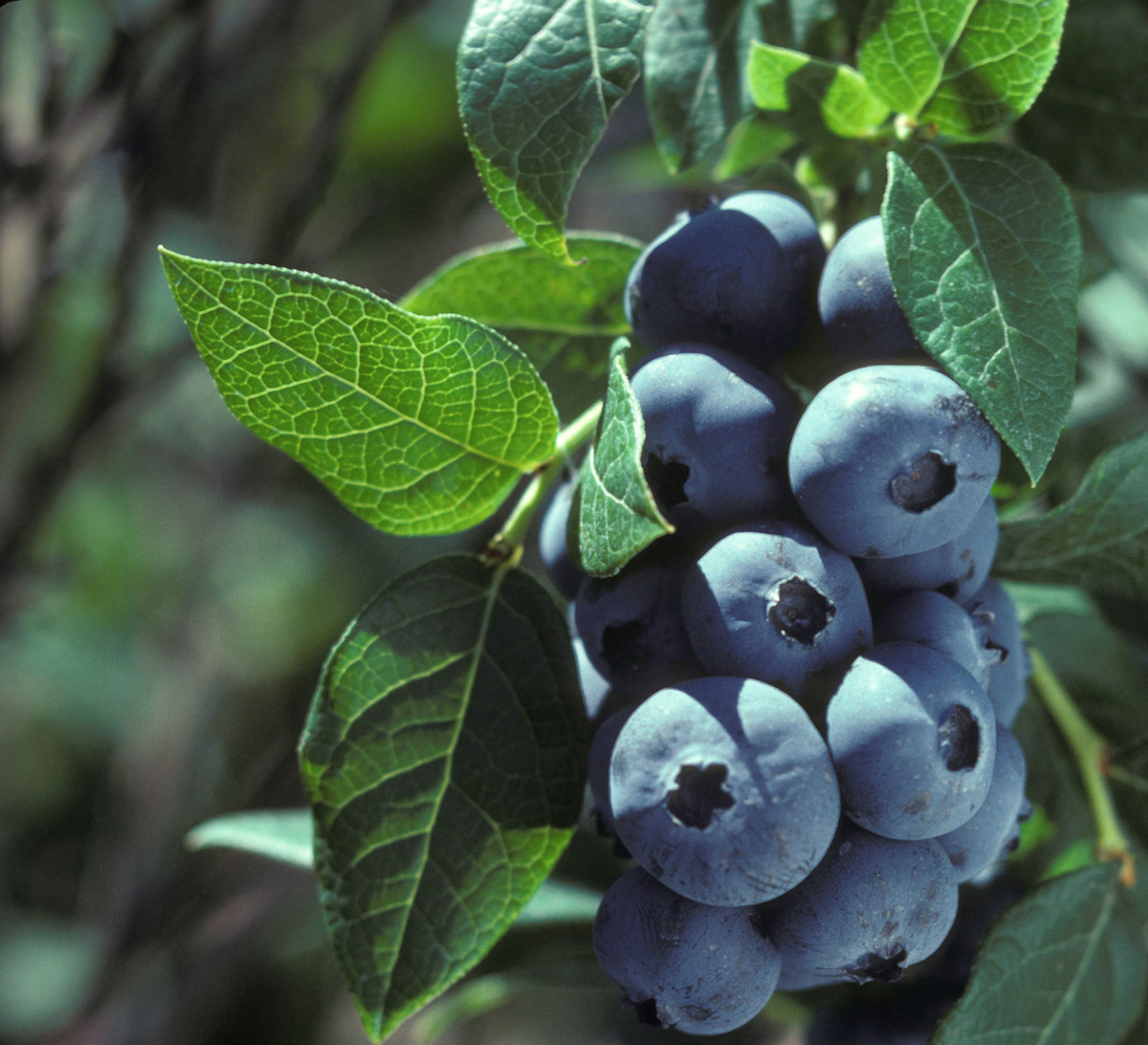 Blueberries 31558