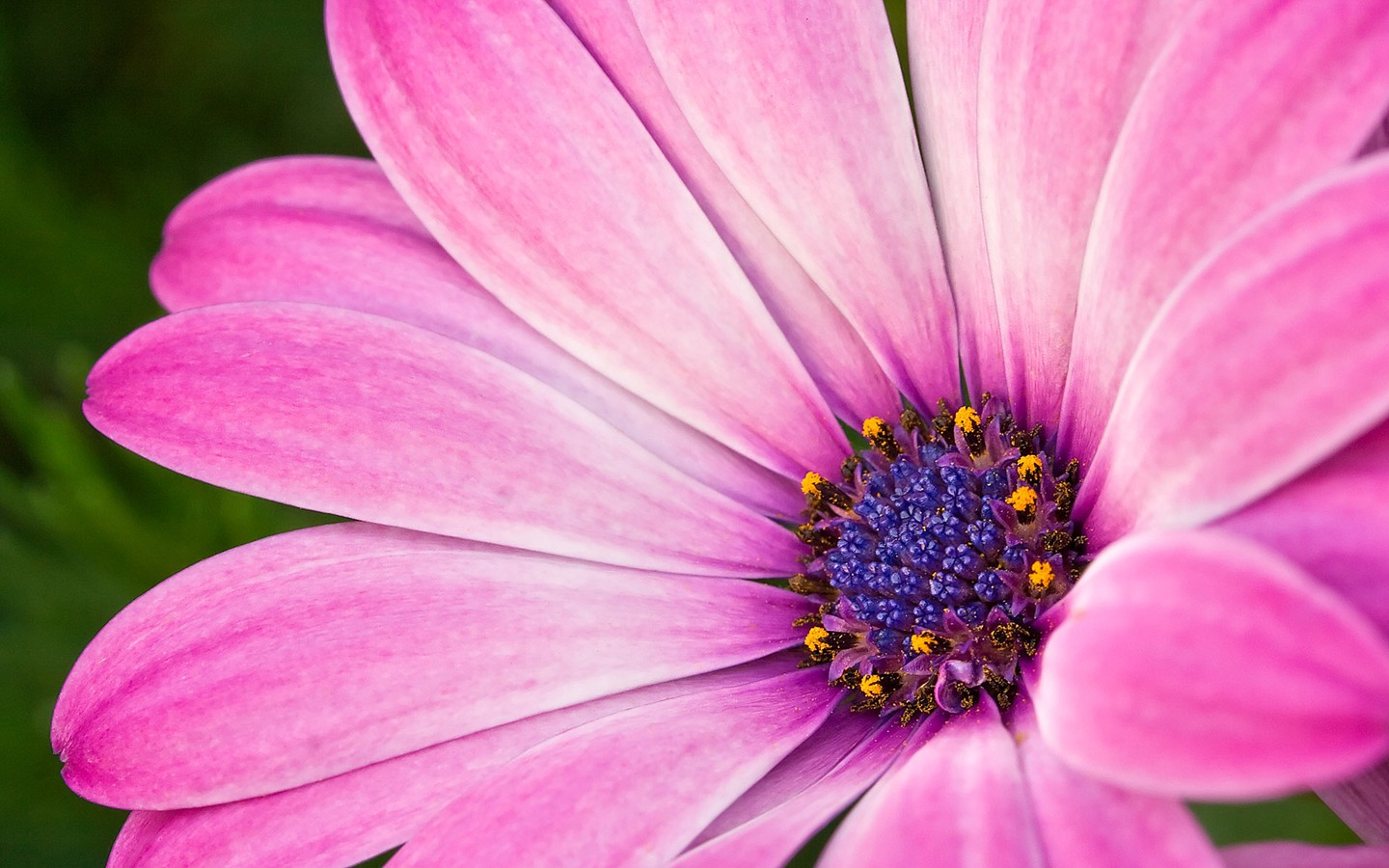 Purple daisies 31720 flower wallpapers flowers purple daisies 31720 izmirmasajfo