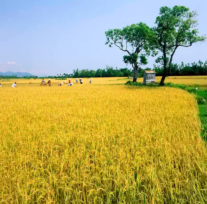 the golden rice fields nursery 32348