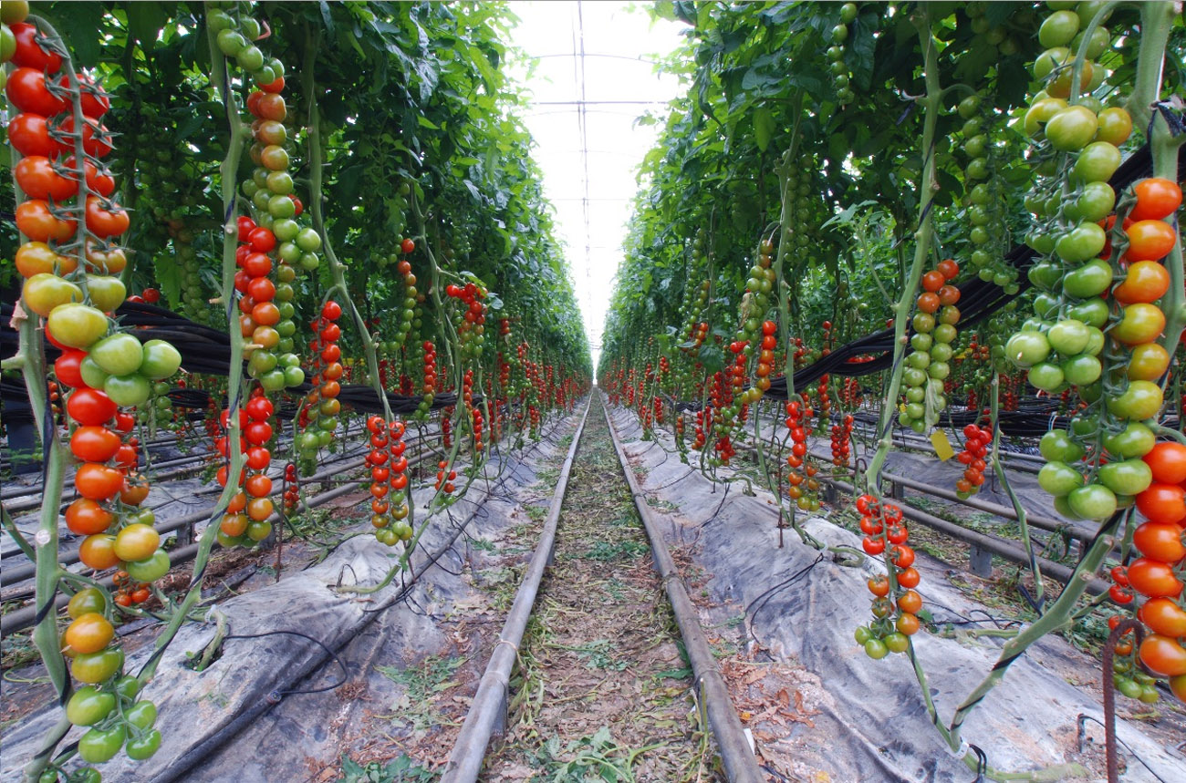 tomatoes image ag morning of garden via your dirt from rows tomato planting planted for in single clips plant vegetable types