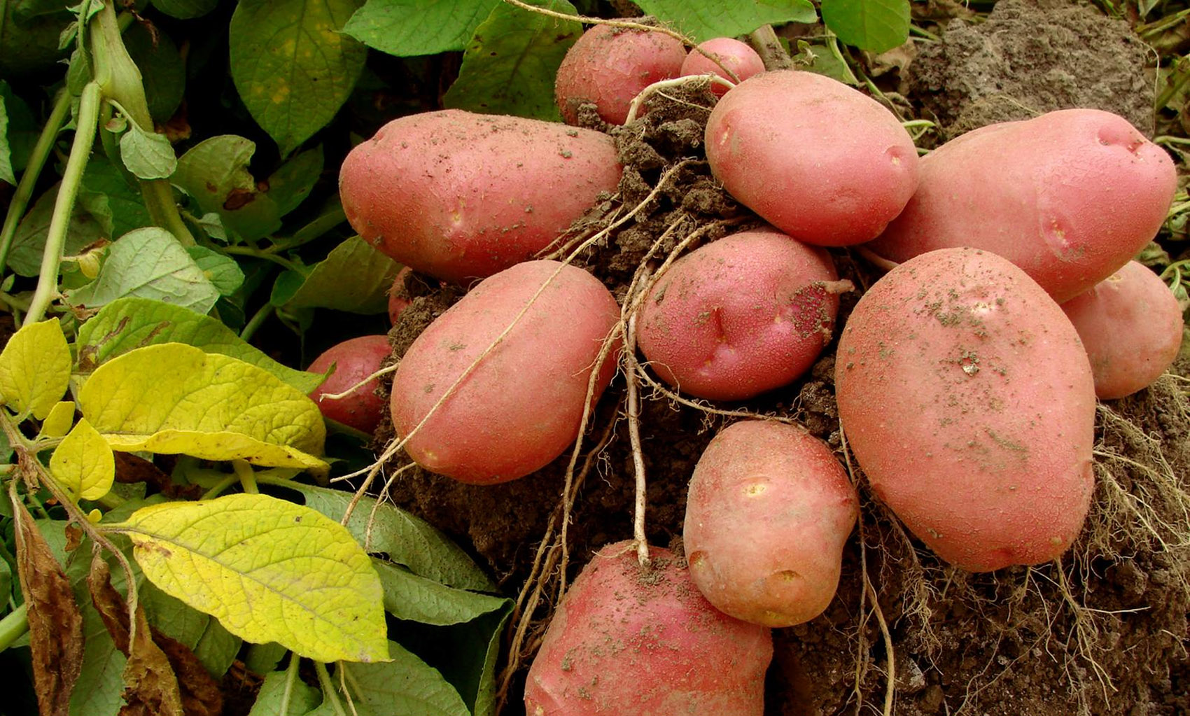 pink potatoes 32437