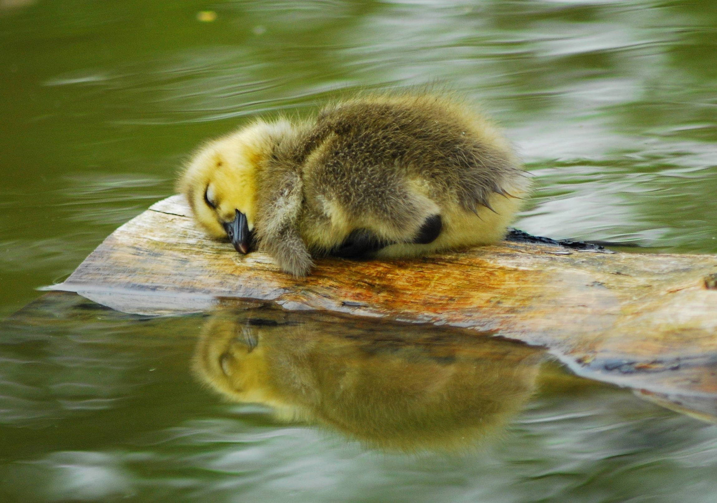 adorable sleeping ducks 32472
