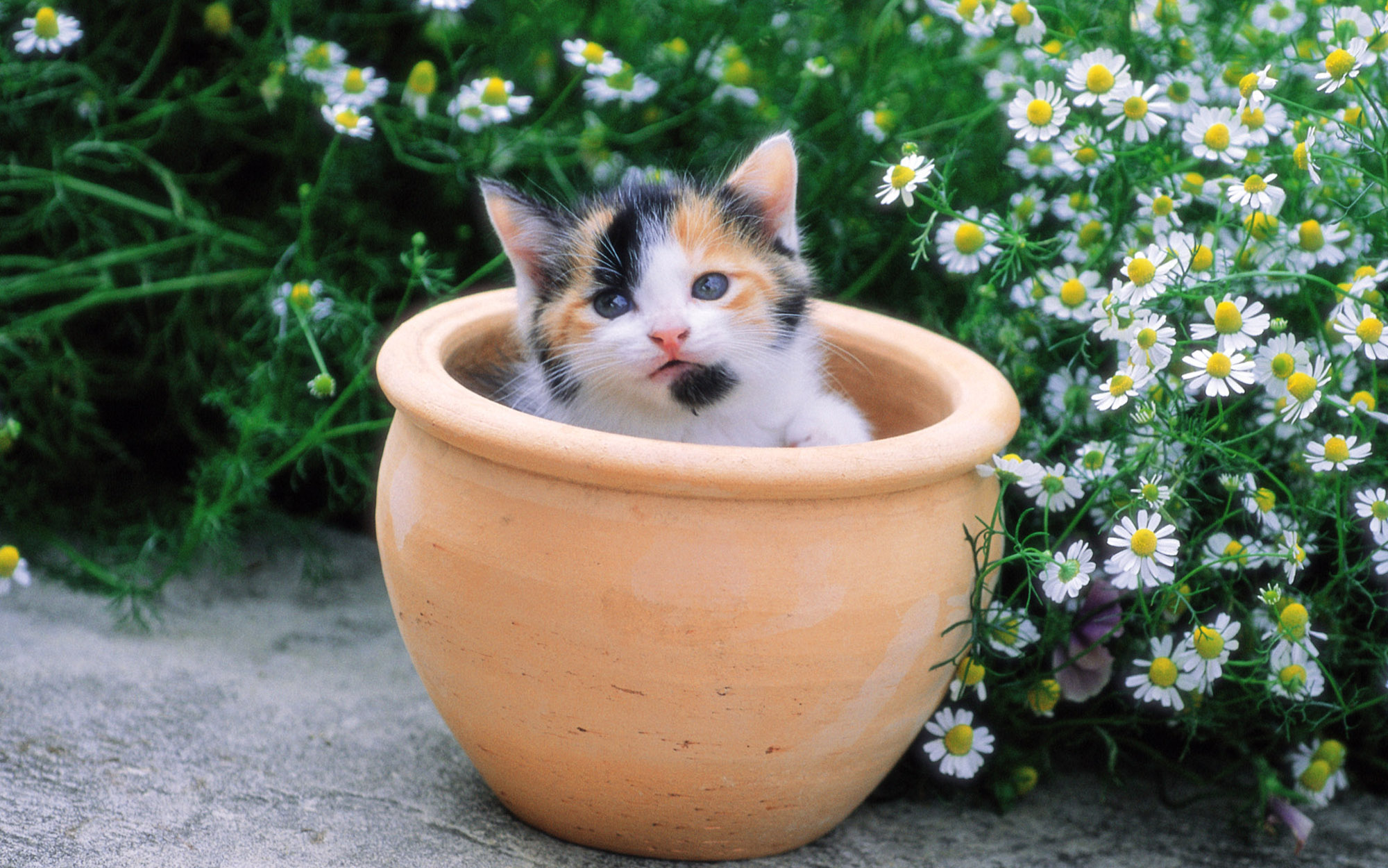 kitten sitting in a flower pot 32474