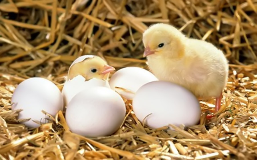 chick hatched 32491 animal