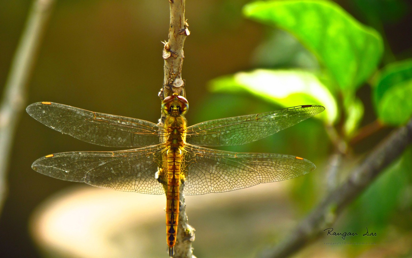 Dragonfly 35337