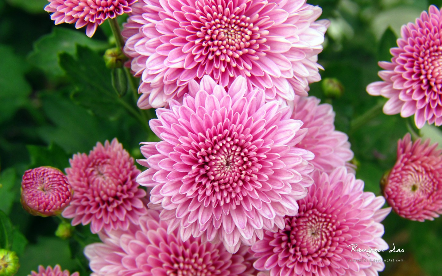 Chrysanthemum 35354