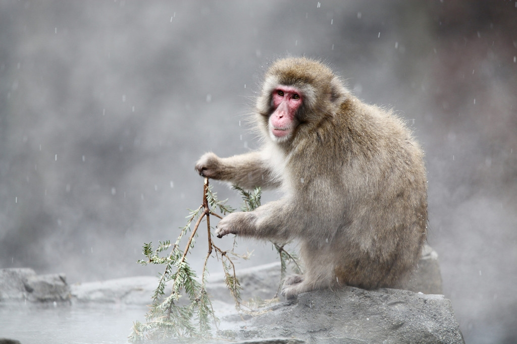 Snow Monkeys at the Central Park Zoo in NYC 40179