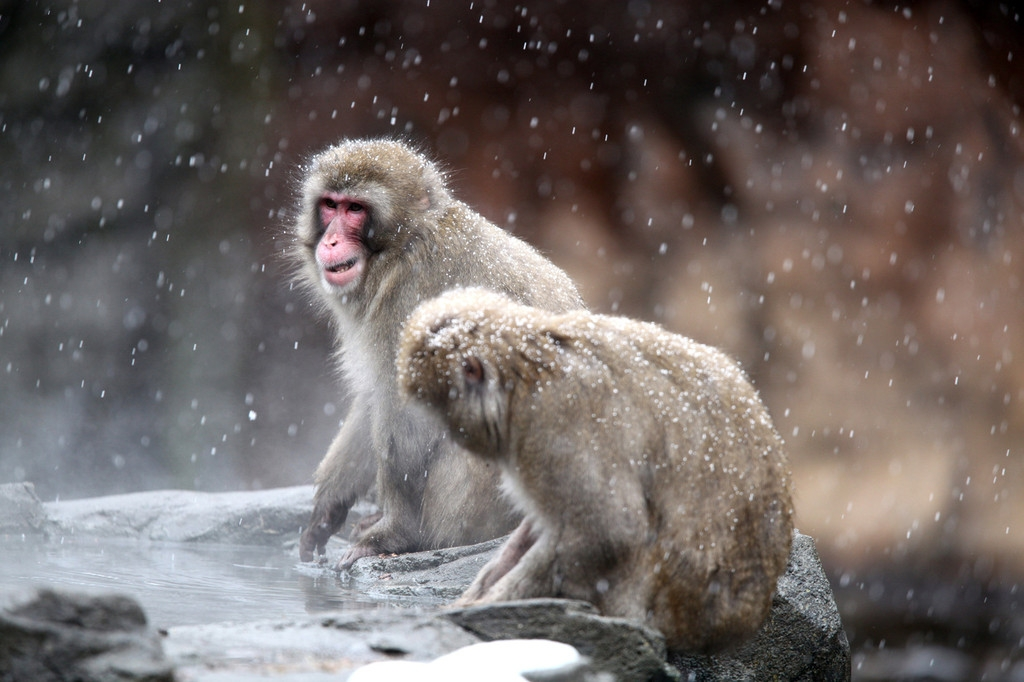 Snow Monkeys at the Central Park Zoo in NYC 40199