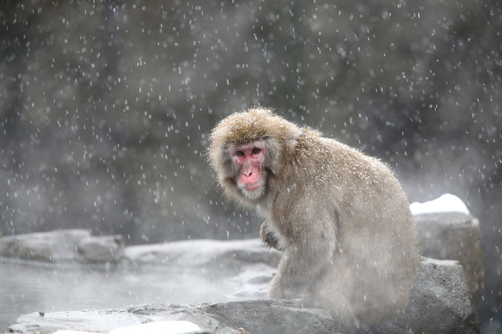 Snow Monkeys at the Central Park Zoo in NYC 40206