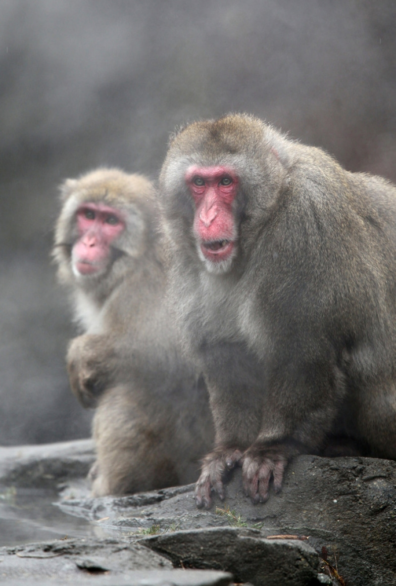 Snow Monkeys at the Central Park Zoo in NYC 40225