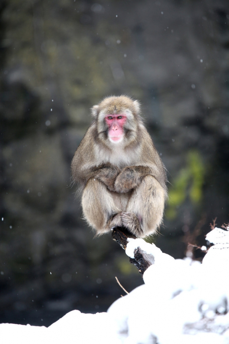 Snow Monkeys at the Central Park Zoo in NYC 40241